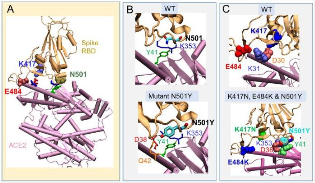 Change in interactions with ACE2 between wt RBD and Southern African variant 501.V2. (A) position of the three amino acids (K417, N501 and E584) at the interface with human ACE2 in the WT RBD; (B) compari-son of the interactions of N501 (top) with those of the variant with single substitution N501Y (bottom). The latter enables a tighter contact result-ing in higher binding affinity compared to WT. (C) Same as B for the triple mutant K417N, D501Y and E484K. Two salt bridges originally present in the wt (top) are broken (bottom), suggesting a compensating effect by the substitutions E484K and K417N, countering N501Y.