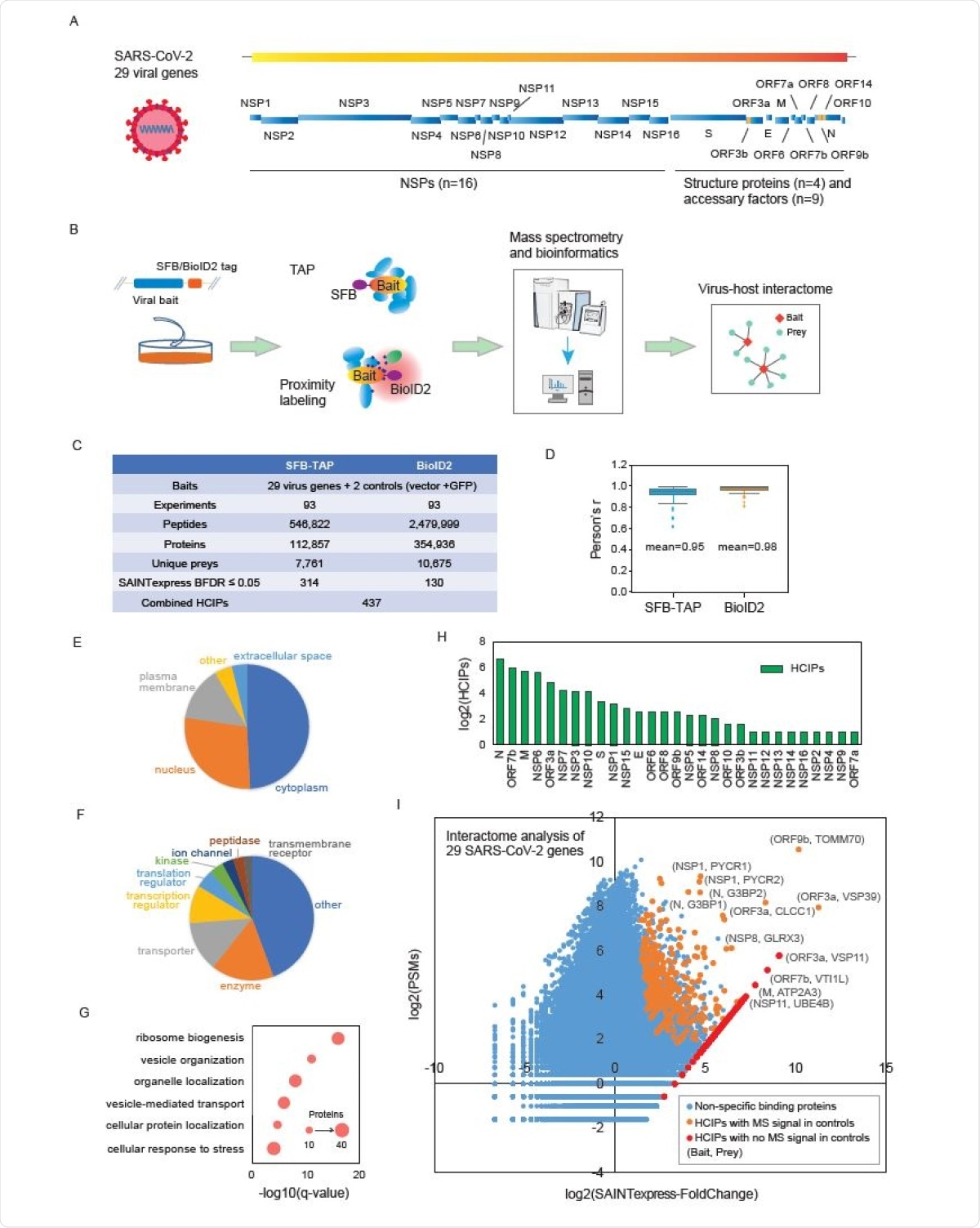 Summary of the SFB-TAP and BioID2 interactome experiments. (A) SARS-CoV-2 genome annotation, predicting 29 virus gene products. The 16 non-structure proteins (NSPs) are cleaved products of the large polyprotein open reading frame (ORF)1ab or ORF1a. These polyproteins are cleaved into small function fragments or NSPs after translation. (B) Workflow for the comprehensive virus-host interactome analysis. Two different labeling strategies, SFBTAP and BioID2 labeling, were applied in the study. Samples were analyzed by Q Exactive HF mass spectrometry (MS). (C) Summary of the datasets obtained from SFB-TAP and BioID2 results, including the number of high-confidence interacting proteins (HCIPs). BDFR, Bayesian false discovery rate. (D) Pearson correlation coefficient among three independent biological replicates of the SFB-TAP results and the BioID2 labeling experiments. (E-G) GO analysis. GO enrichment was performed using Ingenuity Pathway Analysis. Protein localization (E), molecular function (F), and biological function (G) are plotted in a single panel. (H) HCIPs identified in the purification of each SARS-CoV-2 gene. (I) Correlation between peptide-spectrum matches (PSMs) of identified proteins and their fold change calculated by SAINTexpress.