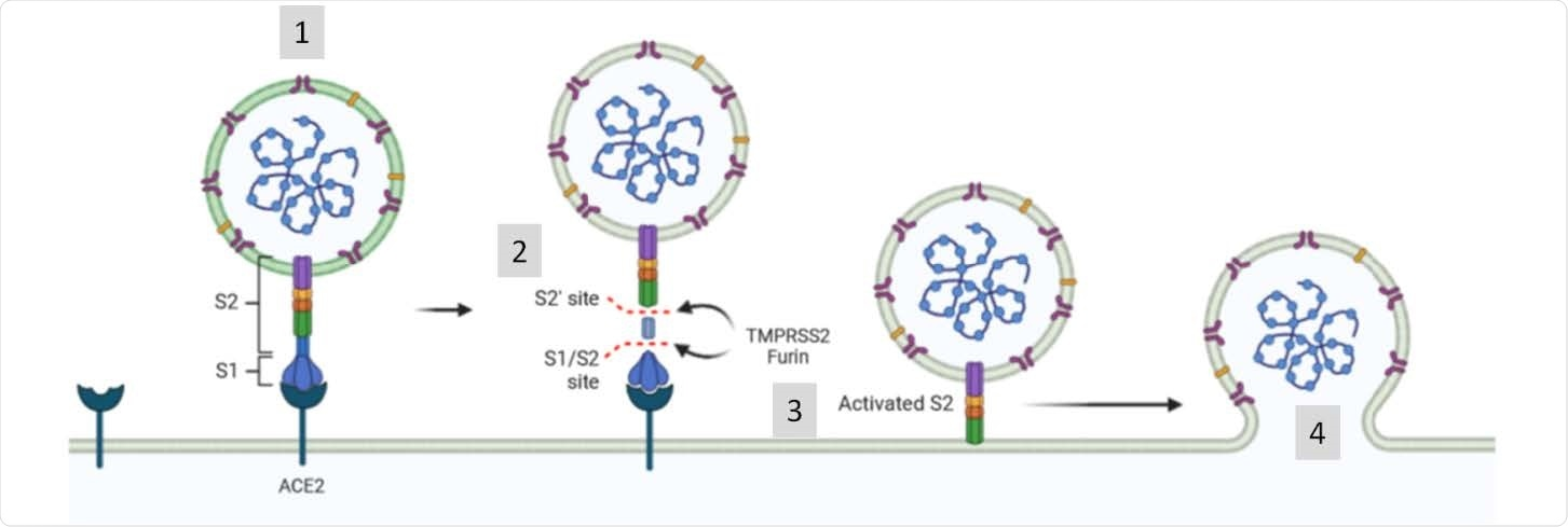SARS-CoV-2 exploits the angiotensin-converting enzyme 2 (ACE2) to enter target cells. After receptor binding (1), the virus S protein is cleaved by proteases such as furin/TMPRSS2 into S1 and S2 subunits (2) that mediates S2-assisted fusion (3) and the release of the viral genome (4).