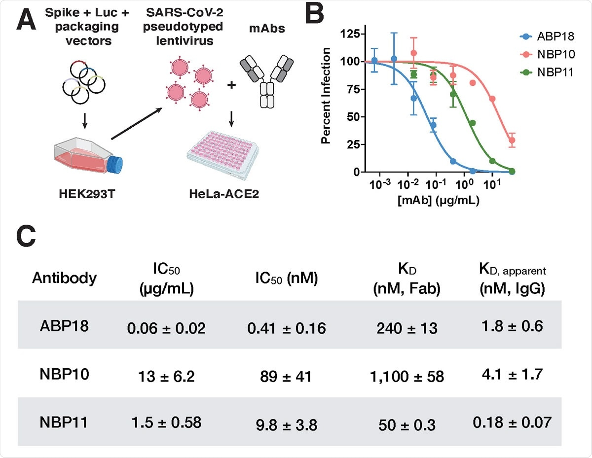 RBD antibodies neutralize SARS-CoV-2 pseudotyped lentivirus (A) SARS-CoV-2 pseudotyped lentivirus produced in HEK293T cells encode firefly luciferase (Luc) and can infect HeLa cells stably expressing the ACE2 receptor (HeLa- ACE2)19,20. Half maximal inhibitory concentration (IC50) can be determined by titrating a monoclonal antibody (mAb) of interest. Figure created with BioRender.com. (B-C) ABP, NBP10, and NBP11 IgG (B) neutralize SARS-CoV-2 spike-pseudotyped lentivirus in vitro with (C) IC50 values (mean ± standard deviation) consistent with their true or apparent affinities. Representative inhibition curves are shown from repeated (n=3) experiments.