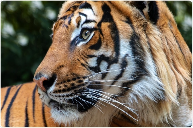 tiger coronavirus