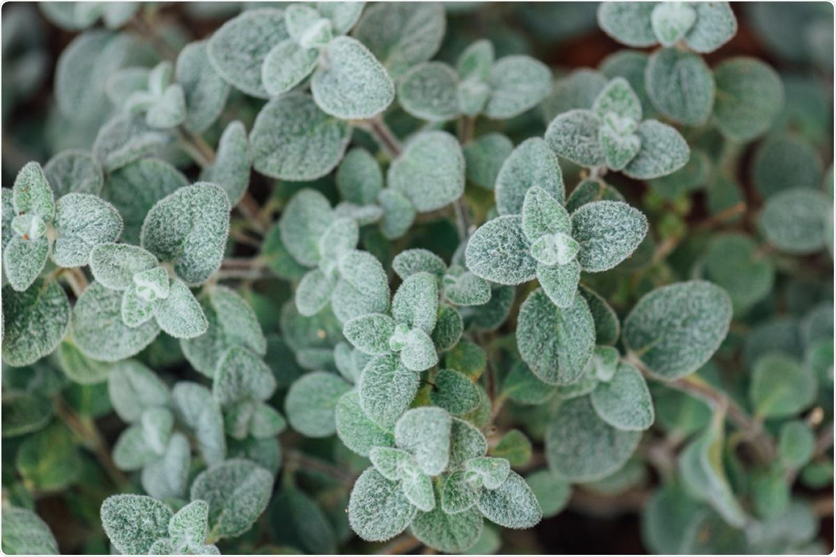 Cretan dittany leaves, Origanum dictamnus. Image Credit: Michalis Koulieris / Shutterstock