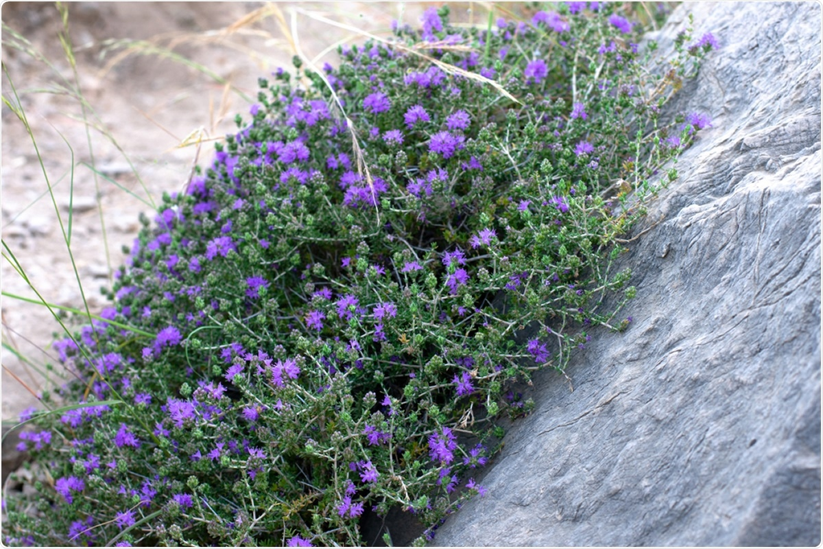Study: A mixture of essential oils from three Cretan Aromatic Plants (thyme, Greek sage and Cretan dittany, CAPeo) inhibits SASR-CoV-2 proliferation: in vitro evidence and a Proof-of-Concept intervention study in mild ambulatory COVID-19-positive patients. Image Credit: Sunny_Smile / Shutterstock