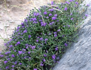 Essential oils from Greek herbs may protect against COVID-19