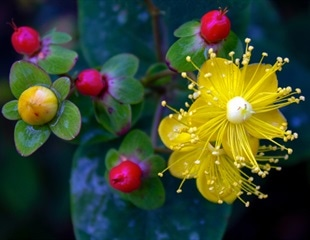 Research suggests St. John's Wort and Echinacea could protect against COVID-19