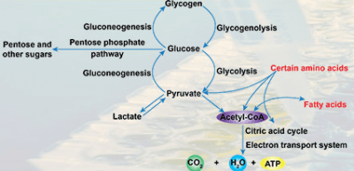 Carbohydrate Metabolism Assays from BioVision