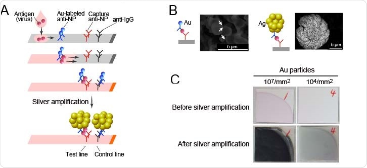 SARS-CoV-2 Ag-RDT with silver amplification technology. (A) Schematic diagram of lateral flow immunoassay with silver amplification technology. The antigen in the sample dropped into the device flows on the cellulose membrane together with the colloidal gold-labeled anti-SARS-CoV-2 NP antibody, and when captured by the membrane-immobilized capture antibody, it develops color and appears as a single band. Adherence of silver ions to the surface of a catalytic gold nanoparticle causes electrons to reduce the silver atoms, leading to the size enhancement followed by 1000-fold improvement in visibility. (B, C) Differences in SEM images (B) and naked eye visualized bands (C) with and without silver amplification.