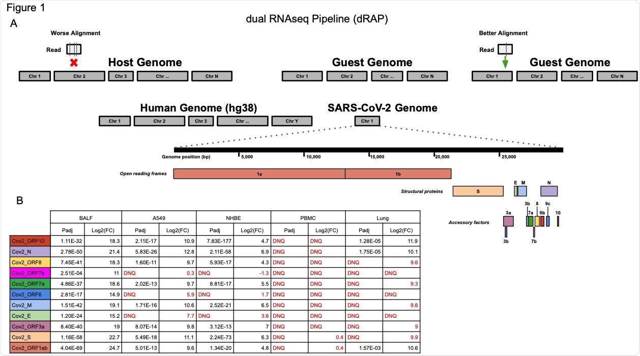 """(A) The dRAP pipeline follows a dual RNAseq methodology by creating a single reference index for RNAseq read alignment with STAR by appending """"guest"""" genomes to the host genome. This allows for simultaneous, unbiased alignment of reads with multiple transcriptomes where the best overall alignment is selected. For example, aligning a single read would result in 3 mismatches (vertical lines in box under """"Worse Alignment"""") if aligned to the host genome (red """"x"""" marks host alignment location) compared to 1 mismatch (vertical line in box under """"Better Alignment"""") aligning to the guest genome (green arrow). Both the human host genome (hg38) and the SARS-CoV-2 guest genome (NC_045512v2) are included, which has a set of genes that are designated as open reading frames, structural proteins, or accessory factors. (B) SARS-CoV-2 differential gene expression results for infected patient tissue and cell line samples compared with non-infected samples. Patient tissue types show dramatically different expression profiles with PBMC and Lung biopsy tissue rarely ever passing detection limits while BALF tissues show robust expression in infected patients. Cell lines also display strong SARS-CoV-2 expression although the magnitude of fold change was far less than that observed in BALF samples. """"DNQ"""" stands for """"did not qualify"""", which indicates genes that failed Cook's distance filtering in DESeq2 analysis."""