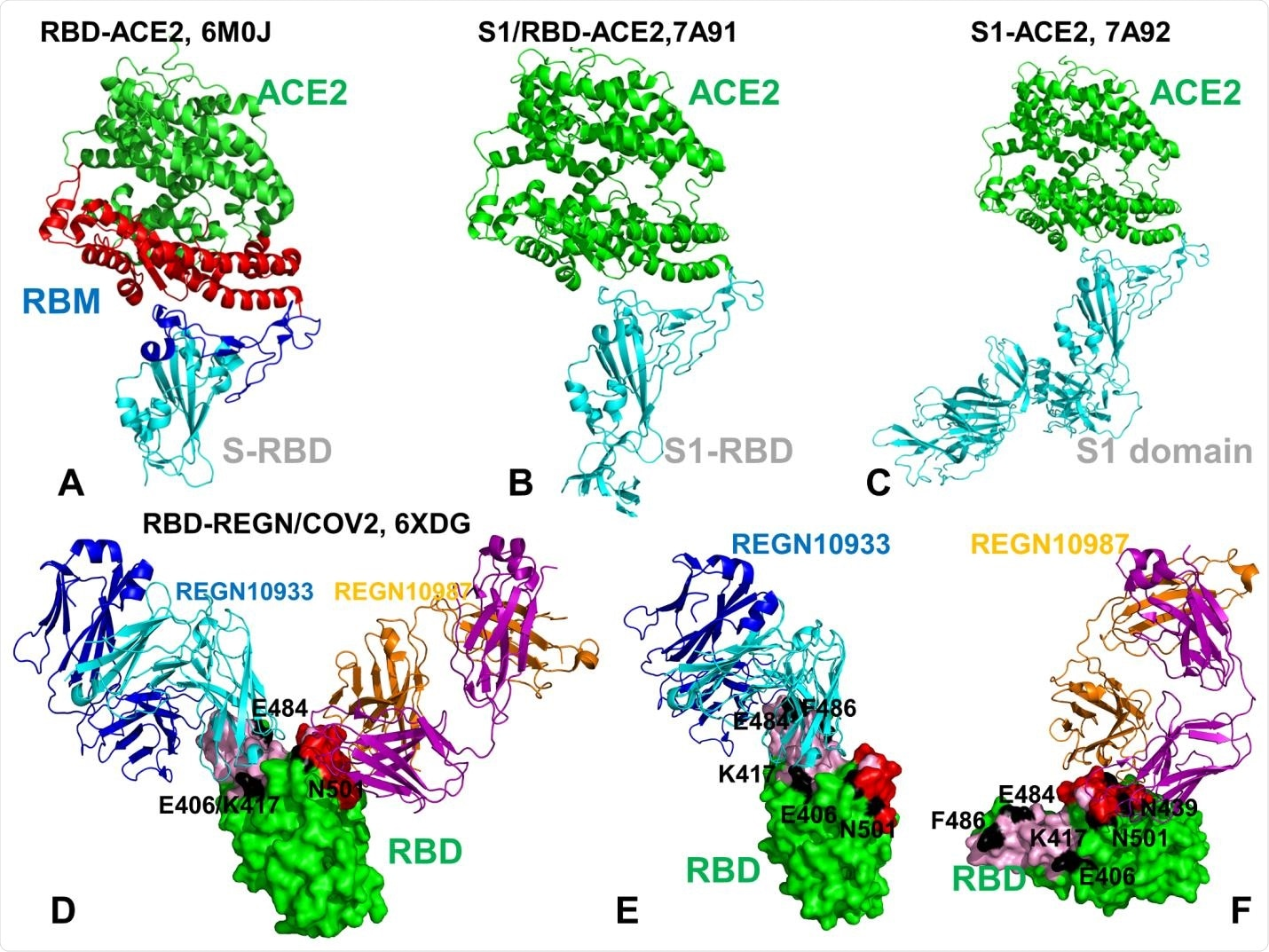 Crystal structures of the SARS-CoV-2 RBD and S1 domain complexes with ACE enzyme and REGN-COV2 antibody cocktail. (A) Structural overview of the SARS-CoV-2 RBD complex with ACE2 (pdb id 6M0J). The SARS-CoV RBD is shown in cyan ribbons and the RBM region is in blue ribbons. The subdomain I of human ACE2 is shown in red ribbons and the subdomain II is shown in green ribbons. The structure of ACE2 consists of the N-terminus subdomain I (residues 19-102, 290-397, and 417-430) and C-terminus subdomain II ( residues 103-289, 398-416, and 431-615) that form the opposite sides of the active site cleft. (B) The crystal structure of the dissociated S1 domain form in the complex with ACE2 (pdb id 7A91). S1-RBD is in cyan ribbons and ACE2 is in green ribbons. (C) The crystal structure of the fully dissociated S1 domain in the complex with ACE2 (pdb id 7A92). S1 domain of the SARSCoV- 2 S protein is in cyan ribbons and ACE2 is in green ribbons. (D) The cryo-EM structure of the SARS-CoV-2 RBD in the complex with REGN10933/REGN10987 antibody cocktail. The RBD region is shown in green surface. REGN10933 Fab fragment is shown in ribbons with heavy chain in cyan and light chain in blue. REGN10987 is in ribbons with heavy chain in orange and light chain in purple. The positions of functional residues targeted by mutational variants and antibody-escaping mutations are E406, K417, E484 and N501 are annotated and highlighted as black patches on the RBD surface. (E) A close-up of the SARS-CoV-2 RBD interactions with REGN10933. The RBD is shown in green surface. REGN10933 Fab fragment is shown in ribbons with heavy chain in cyan and light chain in blue. The REGN10933 antibody epitope on RBD is highlighted in cyan patches on the surface. The positions of E406, K417, E484, F486, N501 are shown as black surface patches on the RBD. (F) A close-up of the SARSCoV- 2 RBD interface with REGN10987. The red patches correspond to the REGN10987 epitope. The positions of E406, K417, N439, E484, F486, N501 are shown as black surface patches on the RBD.
