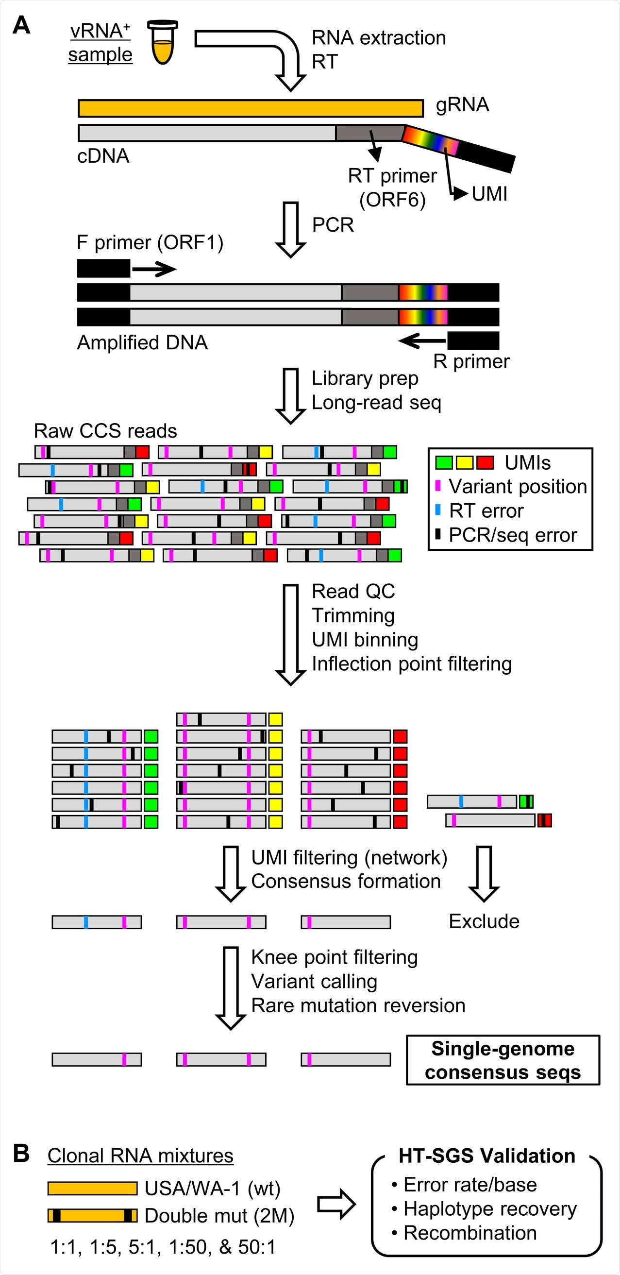 Overview of HT-SGS data generation and analysis. (A) SARS-CoV-2 genomic RNA (gRNA) is reverse-transcribed to include an 8-nucleotide unique molecular identifier (UMI; multicolored bar), followed by PCR amplification and Pacific Biosciences single-molecule, real-time (SMRT) sequencing of the 6.1-kilobase region encompassing spike (S), ORF3, envelope (E), and membrane (M) protein genes. After quality control and trimming, sequence reads are compiled into bins that share a UMI sequence, and bins with low read counts are removed according to the inflection point of the read count distribution. Presumptive false bins arising from errors in the UMI are then identified and removed by the network adjacency method, followed by further removal of bins with the lowest read counts using a more conservative knee point cutoff. Variant calling is then used to identify presumptive erroneous mutations based on rarity and pattern (ex., single-base insertions adjacent to homopolymers), and these are reverted to the sample consensus. Finally, SGS that correspond to haplotypes occurring only once in each sample are excluded (not pictured). (B) To validate data generation and analysis procedures, clonal RNAs transcribed in vitro from USA/WA-1 and double mutant sequences were mixed at varying ratios and subjected to HT-SGS.