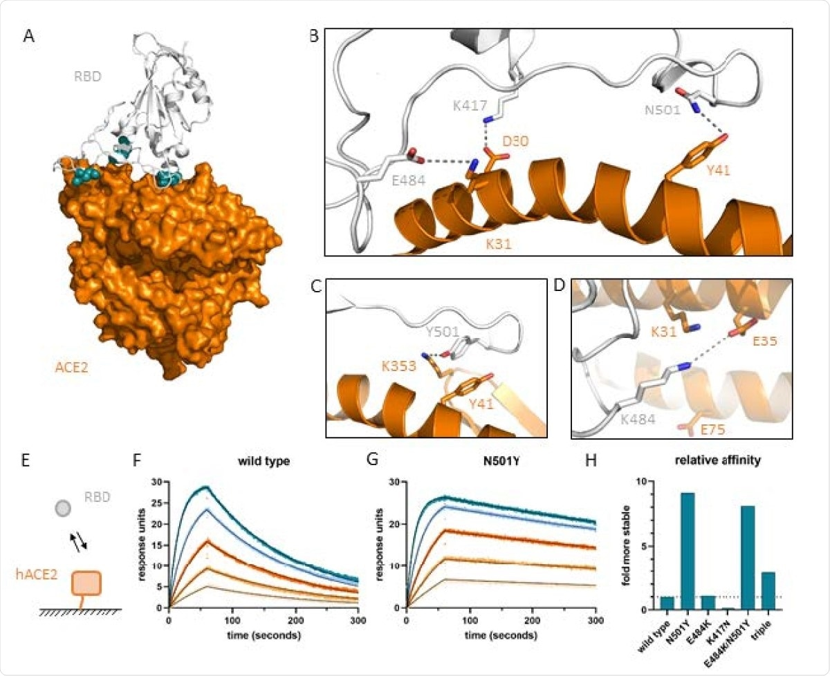 Effects of amino acid mutations on molecular interactions and strength of the interface between hACE2 and the SARS-CoV-2 receptor binding domain. (A) Location of residues N501, E484 and K417 indicated by blue spheres at the interface of SARS-CoV-2 receptor binding domain (white cartoon representation) and the hACE2 ectodomain (orange surface representation) in 6m0j.pdb [24]. (B) Details of the interactions with RBD N501 forming a hydrogen bond with hACE2 Y41, RBD E484 forming an ion-pair with hACE2 K31, and RBD K417 forming a salt-bridge (ion-pair plus hydrogen bond) with hACE2 D30. (C) RBD Y501 creates a new hydrogen bond and stacks its aromatic ring onto hACE2 Y41. (D) Possible new ion-pair between K484 and E35 across the interface. (E) Cartoon visualizing SPR setup using Biacore T100. (F) Sensorgrams for wild type RBD (colored) with fit of a 1:1 binding model (thin black lines). (G) Sensorgrams for N501Y with fit of 1:1 binding model (thin black lines). (H) Affinity of RBD mutants relative to wild type RBD.