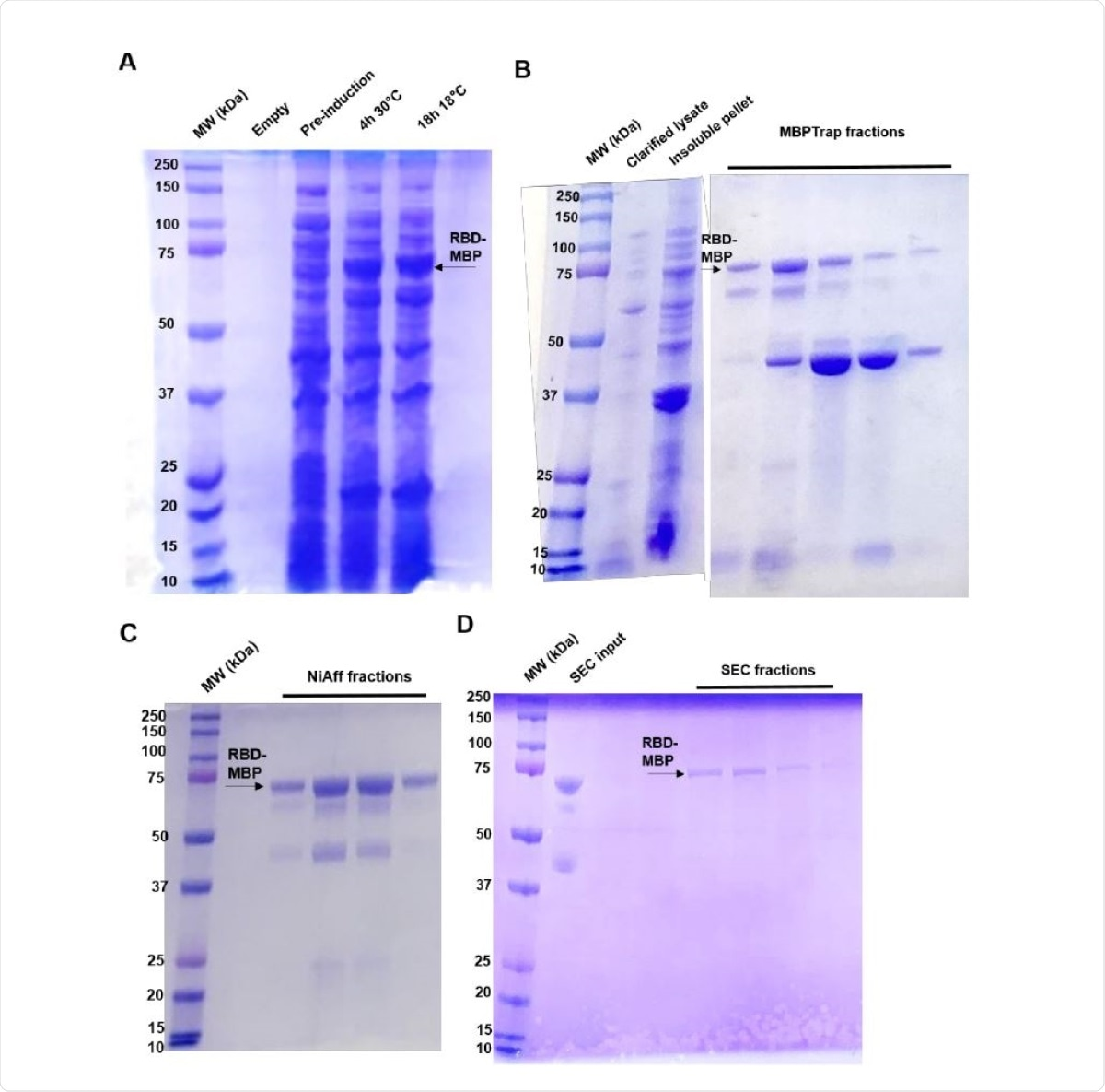 Protein purification SDS-PAGE gels. RBD-MBP can be observed running at 74 kDa, as indicated by the black arrows near the 75 kDa marker. Black arrows at approximately 42 kDa could indicate endogenously produced or cleaved MBP. A) Initial induction experiment comparing same-day (4 h) induction at 30° C and overnight (16 h) induction at 18° C. B) MBPTrap AKTA fractions. C) Nickel-affinity AKTA fractions. D) Size-exclusion AKTA fractions.