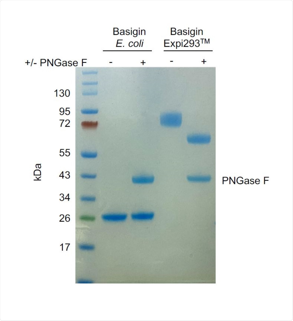 PNGase F digest of E. coli-expressed (non-glycosylated) and Expi293TMexpressed (glycosylated) basigin. The lower molecular weight of glycosylated basigin after PNGase F treatment is consistent with the loss of glycans. The heavier molecular weight of glycosylated basigin treated with PNGase F compared to non-glycosylated basigin can be attributed to the presence of the rat CD4 domains 3+4 (CD4d3+4) solubility tag (33 kDa).