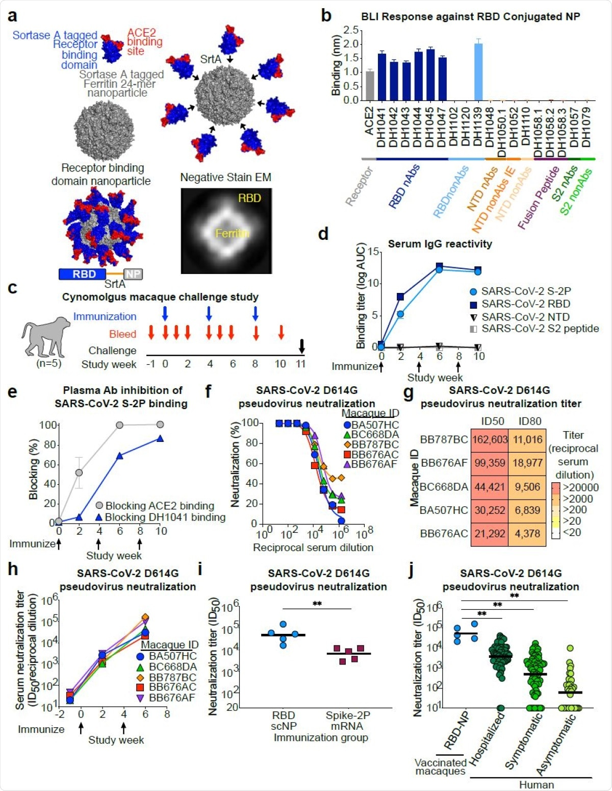 SARS-CoV-2 receptor binding domain (RBD) sortase conjugated nanoparticles (scNPs) elicits extremely high titers of SARS-CoV-2 pseudovirus neutralizing antibodies. a. SARS-CoV-2 RBD nanoparticles were constructed by expressing RBD with a C-terminal sortase A donor sequence (blue and red) and a Helicobacter pylori ferritin nanoparticle with N737 terminal sortase A acceptor sequences (gray) on each subunit (top left). The RBD is shown in blue with the ACE2 binding site in red. The RBD was conjugated to nanoparticles by a sortase A (SrtA) enzyme conjugation reaction (top right). The resultant nanoparticle is modeled on the bottom left. Nine amino acid sortase linker is shown in orange. Two dimensional class averages of negative stain electron microscopy images of actual RBD nanoparticles are shown on the bottom right. b. Antigenicity of RBD nanoparticles determined by biolayer interferometry against a panel of SARS-CoV-2 antibodies and the ACE2 receptor. Antibodies are color-coded based on epitope and function. N-terminal domain (NTD), nonAbs IE, infection enhancing non-neutralizing antibody; nAb, neutralizing antibody; nonAb, non-neutralizing antibody. Mean and standard error from 3 independent experiments are shown. c. Cynomolgus macaque challenge study scheme. Blue arrows indicate 748 RBD-NP immunization timepoints. Intranasal/intratracheal SARS-CoV-2 challenge is indicated at week 10. d. Macaque serum IgG binding determined by ELISA to recombinant SARS-CoV-2 stabilized Spike ectodomain (S-2P), RBD, NTD, and Fusion peptide (FP). Binding titer is shown as area752under-the curve of the log10-transformed curve. Arrows indicate immunization timepoints. e. Plasma antibody blocking of SARS-CoV-2 S-2P binding to ACE2-Fc and RBD neutralizing antibody DH1041. Group mean and standard error are shown. f. Dose-dependent serum neutralization of SARS-COV-2 pseudotyped virus infection of ACE2- expressing 293T cells. Serum was collected after two immunizations. The SARS-CoV-2 pseudo