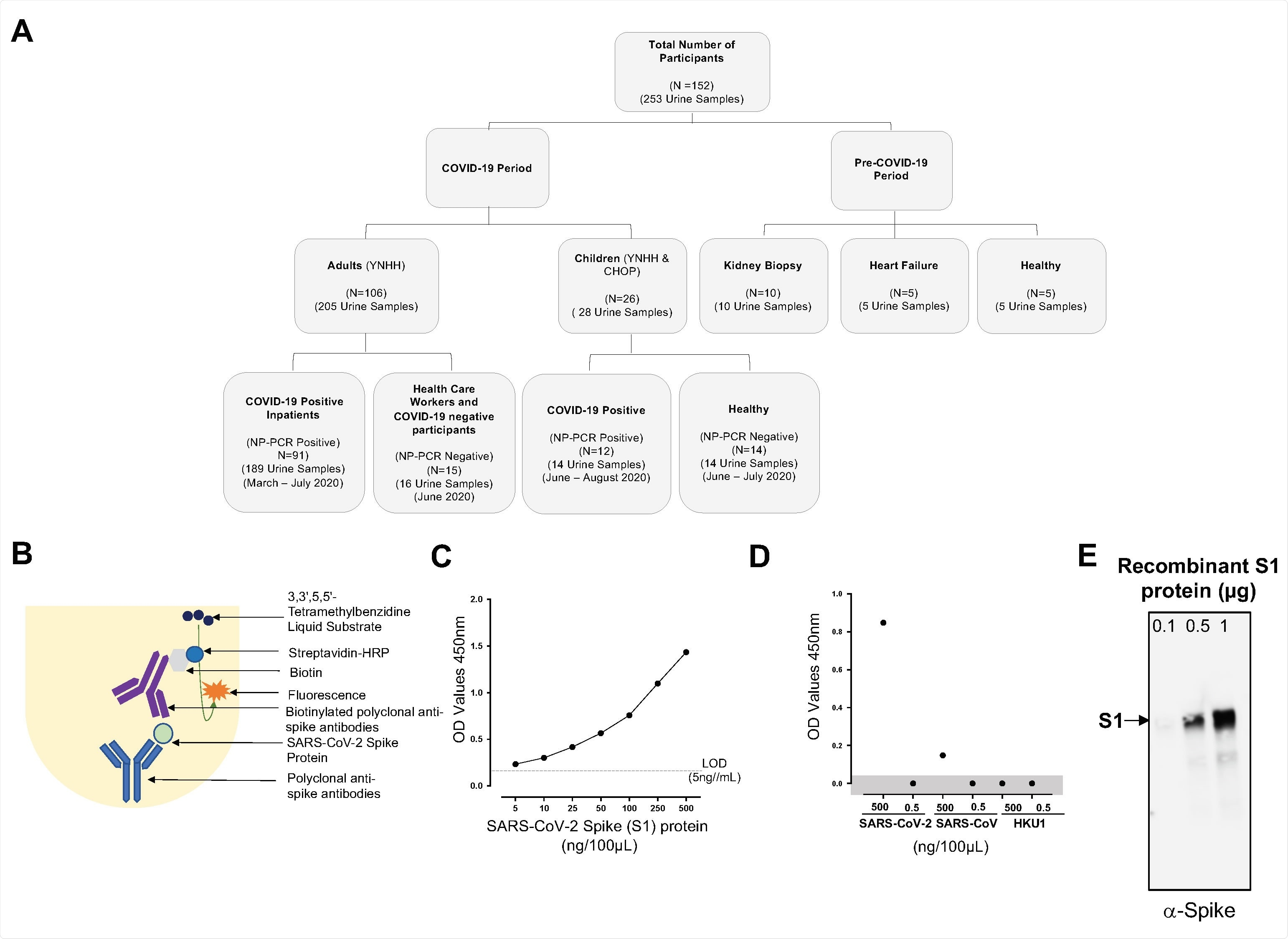 Consolidated summary of study population, assay chemistry, and sensitivity and specificity of the SARS-CoV-2 spike protein using capture ELISA. (A) Flowchart describing the study population. Samples used in this study were collected both before and during the COVID-19 pandemic. (B) Schematic representative of the Capture ELISA assay chemistry. (C) Representative standard curve generated using 5μg/mL SARS-CoV-2 polyclonal anti-spike antibodies. (D) Assay to define the specificity of the SARS-CoV-2 Capture ELISA. Two different concentrations (5μg/mL and 5ng/mL) of different coronavirus infecting humans (SARS-CoV-2, SARS-CoV and HCoV-HKU1) were assessed to determine the specificity of the Polyclonal anti-spike SARS-CoV-2 antibodies. Data points in the shaded area are below the limit of detection. (E) Sensitivity of the polyclonal antibodies to detect SARS-CoV-2 spike S1 protein using Western blot. SARS-CoV-2 in three different concentration was measured 0.1μg, 0.5μg and 1μg.