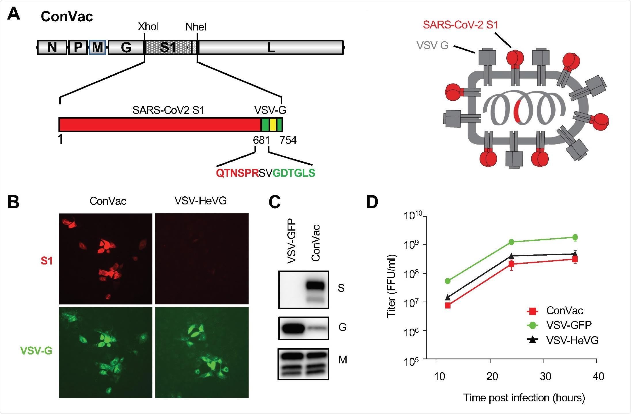 Geração e caracterização de ConVac. (a) Esquerda: a estrutura do genoma do vector de VSV que expressa a membrana ancorou o domínio de SARS-CoV2 S1. O domínio S1 da proteína do ponto SARS-CoV2 (aa 1-681) foi juntado ao Cterminal 70 ácidos aminados da glicoproteína de VSV. A construção da fusão foi introduzida entre a glicoproteína e os genes da polimerase de VSV. O domínio S1 é mostrado no vermelho e na cauda de VSV G no verde. O domínio da transmembrana da glicoproteína de VSV é indicado por uma caixa amarela. Os ácidos aminados na junção entre o S1 e a glicoproteína de VSV são destacados. Direito: a representação esquemática da construção vacinal que mostra as duas proteínas da transmembrana ancorou na membrana. (b) Mancha da imunofluorescência das pilhas de Vero E6 contaminadas com ConVac e de um vírus do controle que expressa o vírus G de Hendra (VSV-HeVG). As pilhas eram fixas e permeabilized 10 horas após a infecção e manchadas com o anticorpo monoclonal fluorescente etiquetado CR3022 contra o domínio S1 (mostrado no vermelho) e os dois anticorpos monoclonais contra a glicoproteína de VSV (mostrada no verde). (c) Análise ocidental da mancha das pilhas de BSR contaminadas com Convac e de um vírus do controle VSV que expressa GFP. Os lysates da proteína eram resolved em 4-20% geles do inclinação do polyacrylamide e foram transferidos às membranas da nitrocelulose. As membranas foram sondadas com anti-soro polyclonal contra o domínio S1 (painel superior), os anticorpos monoclonais contra a glicoproteína de VSV (painel médio) e um anticorpo monoclonal contra a proteína da matriz de VSV (mais baixo painel). A expressão da glicoproteína de VSV foi reduzida significativamente nas pilhas contaminadas com ConVac visto que a expressão da proteína da matriz foi afectada somente modesta. (d) Curva de crescimento viral em pilhas de Vero. As pilhas foram contaminadas em um MOI de 0,05 PFU com ConVac, ou em VSV que expressam GFP ou em um outro vírus do controle que expressa a