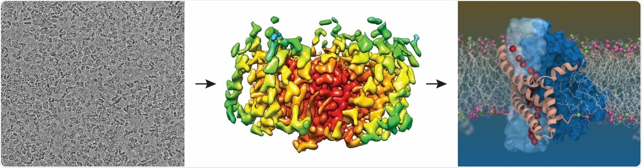 Scientists reveal the structure of glutamate transporter in our cells