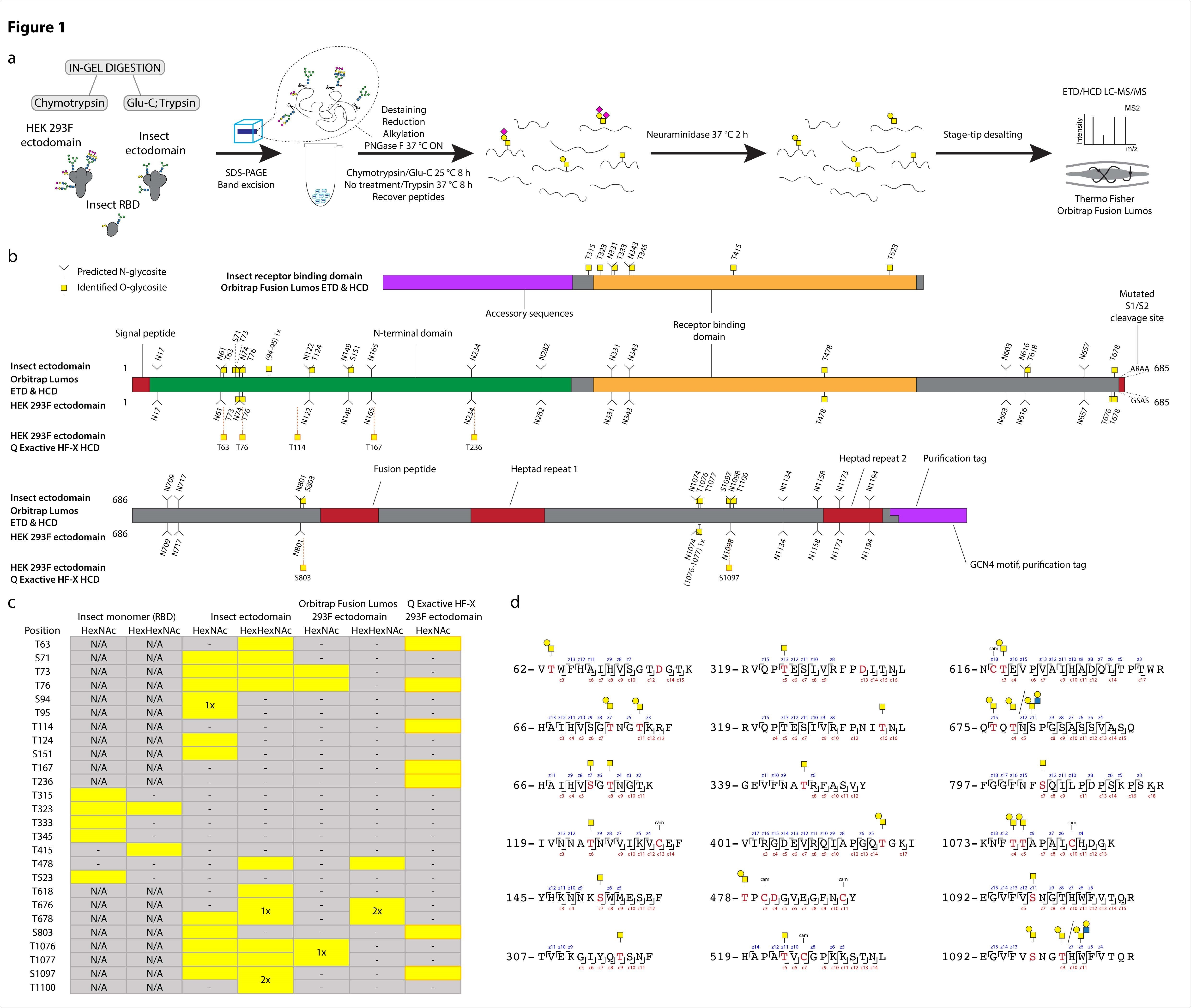 """O-glycosylation of SARS-CoV-2 spike protein expressed in insect or human cells. (a) Experimental strategy. (b) A graphical layout of spike protein sequence annotated with identified Oglycosylation sites using Orbitrap Lumos mass spectrometer with ETD and HCD MS2 fragmentation. Independently identified O-glycosites on HEK 293F-derived ectodomain using Q Exactive HF-X mass spectrometer with HCD MS2 fragmentation are shown with orange outlines. (c) A table summarizing O-glycosites and respective structures found in different S formulations (yellow rectangles). Ambiguous sites are shown as merged rectangles across several positions. """"N/A"""" - not applicable; """"-"""" - not detected. Orbitrap Fusion Lumos derived sites are marked with grey outlines. Additional sites identified on HEK 293F ectodomain with Q Exactive HF-X are marked with orange outlines. (d) Examples of O-glycopeptides identified with Orbitrap Fusion Lumos using ETD fragmentation. MS2 c and z product ion fragments are annotated based on the respective ETD spectra"""