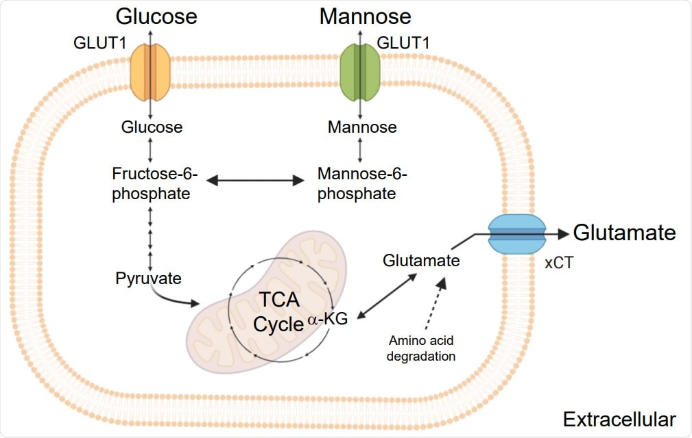 Schematic representation of  the key steps of glycolysis, mannose and glutamate metabolism and TCA cycle.