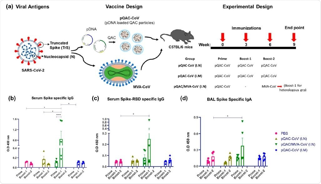 Generation of humoral immune responses in C57BL/6 mice following immunization with different vaccine constructs. (a) Outline for vaccine construct and immunization protocol using groups of C57BL/6 mice vaccinated with 3 doses of pQAC-CoV (I.N) or pQAC-CoV (I.M) with 3-week interval. Another group of C57BL/5 mice were vaccinated with pQAC-CoV (I.N) at week-0 followed by boost with MVA-CoV (I.N) at week-6. (b) ELISA titers of SARS-CoV-2 S-specific IgG in mice sera, (c) ELISA titers of SARS-CoV-2 spike receptor-binding domain (RBD)-specific IgG in mice serum and (d) ELISA titers of SARS-CoV-2 S-specific IgA in bronchoalveolar lavage (BAL), significance (*, p < 0.05, ****, p < 0.0001) was determined by two-way ANOVA. Data show mean  SEM.