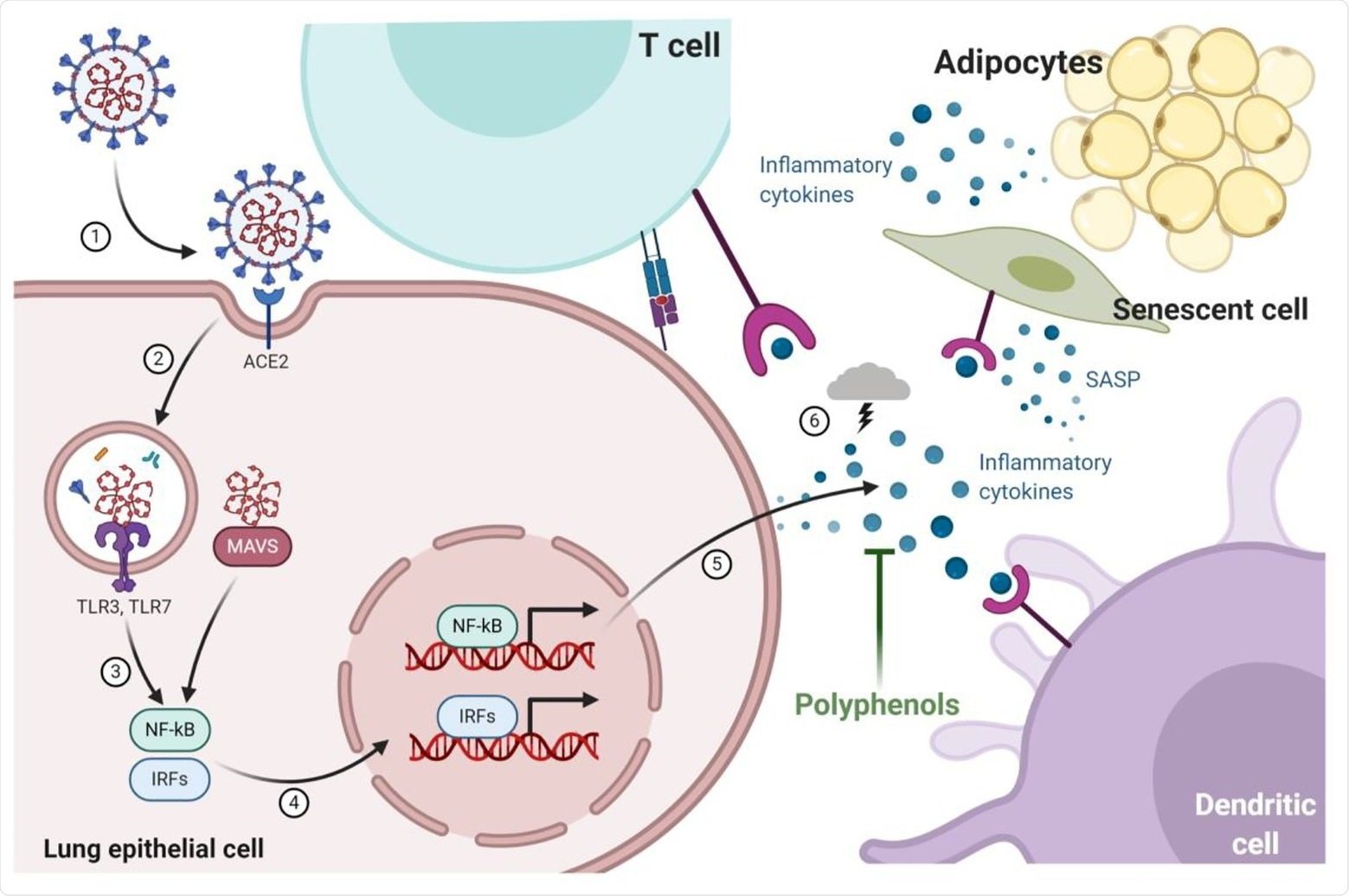 Infection of pulmonary epithelial cells occurs through the interaction of the spike glycoprotein envelope (S-protein) with the angiotensin I converting enzyme (ACE)-2 receptor that allows viral replication and triggers mechanisms to combat infection by the host cells thought toll-like receptors (TLRs) and mitochondrial antiviral-signaling protein (MAVS). Cytokines pro-inflammatory are produced by nuclear factor kappa -B (NF-kB) and interferon-regulatory factors (IRFs) signaling pathways recruiting more immune cells (dendritic cell and T-cell) to lungs. Recruited immune cells increased cytokine production resulting in a cytokine storm that is associated with a worse prognosis of infected patients. During aging and obesity, the production of pro-inflammatory cytokines and the establishment of low-grade systemic inflammation are also observed. The expression of components of the renin-angiotensin-aldosterone system, such as ACE2, is also modified by aging and obesity, which could explain why elderly and obese patients are affected and headed the death statistics by COVID-19. Dietary bioactive substances such as polyphenols are able to block the production of cytokines by senescent cells (senescence-associated secretory phenotype; SASP) and adipocytes, as well as modify the ACE-1/ACE-2 ratio, which can potentially result in beneficial effects in COVID-19.