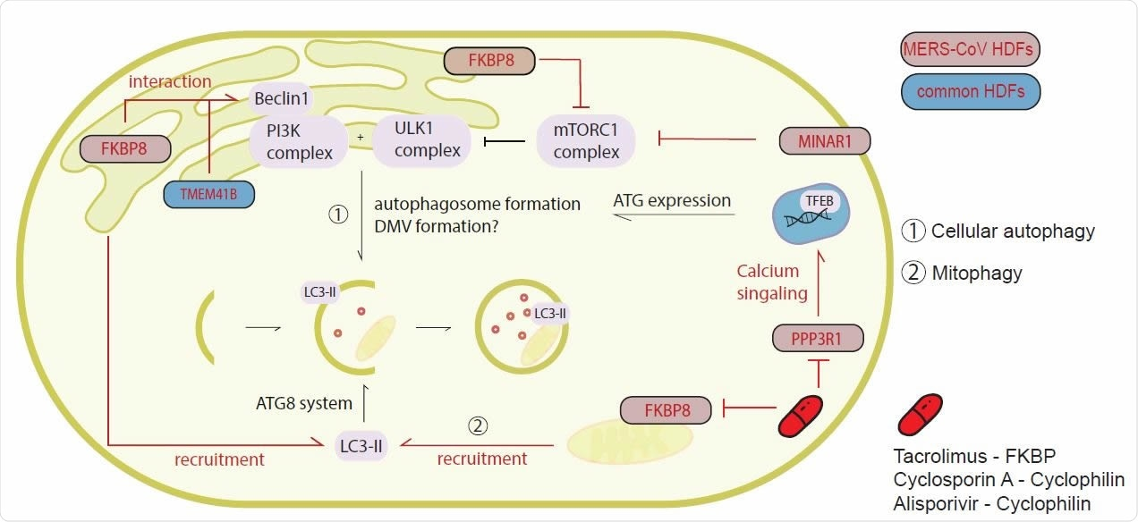 CoV HDFs are interactors of the autophagy pathway but do not depend on autophagy for replication. (A) Upon starvation, the mTORC1 complex is blocked and activation of the PI3K complex, as well as the ULK1 complex leads to the initiation of phagophore formation, as an initial step in the autophagy pathway. MERS-CoV and HCoV503 229E top scoring CRISPR knockout screen hits FKBP8, MINAR1, TMEM41B and VMP1 are involved in this early pathway. Furthermore, the ATG8 system containing among others LC3, which is recruited by VPM1 or FBKP8 is necessary for targeting cellular cargo to the autophagosome. PPP3R1 is upregulated and initiates TFEB translocalization to the nucleus, where it catalyzes transcription of ATGs. MERS-CoV or conserved host dependency factors (HDFs) are indicated in respective colors. Inhibitor intervention in this pathway is shown in red.