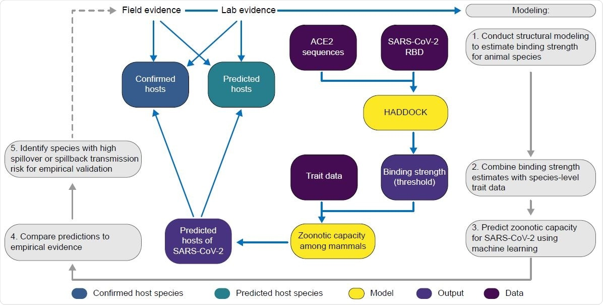 A flowchart showing the progression of our workflow combining evidence from limited lab and field studies with additional data types to predict zoonotic capacity across mammals through multi-scale statistical modeling (gray boxes, steps 1-5). For all vertebrates with published ACE2 sequences, we modelled the interface of species