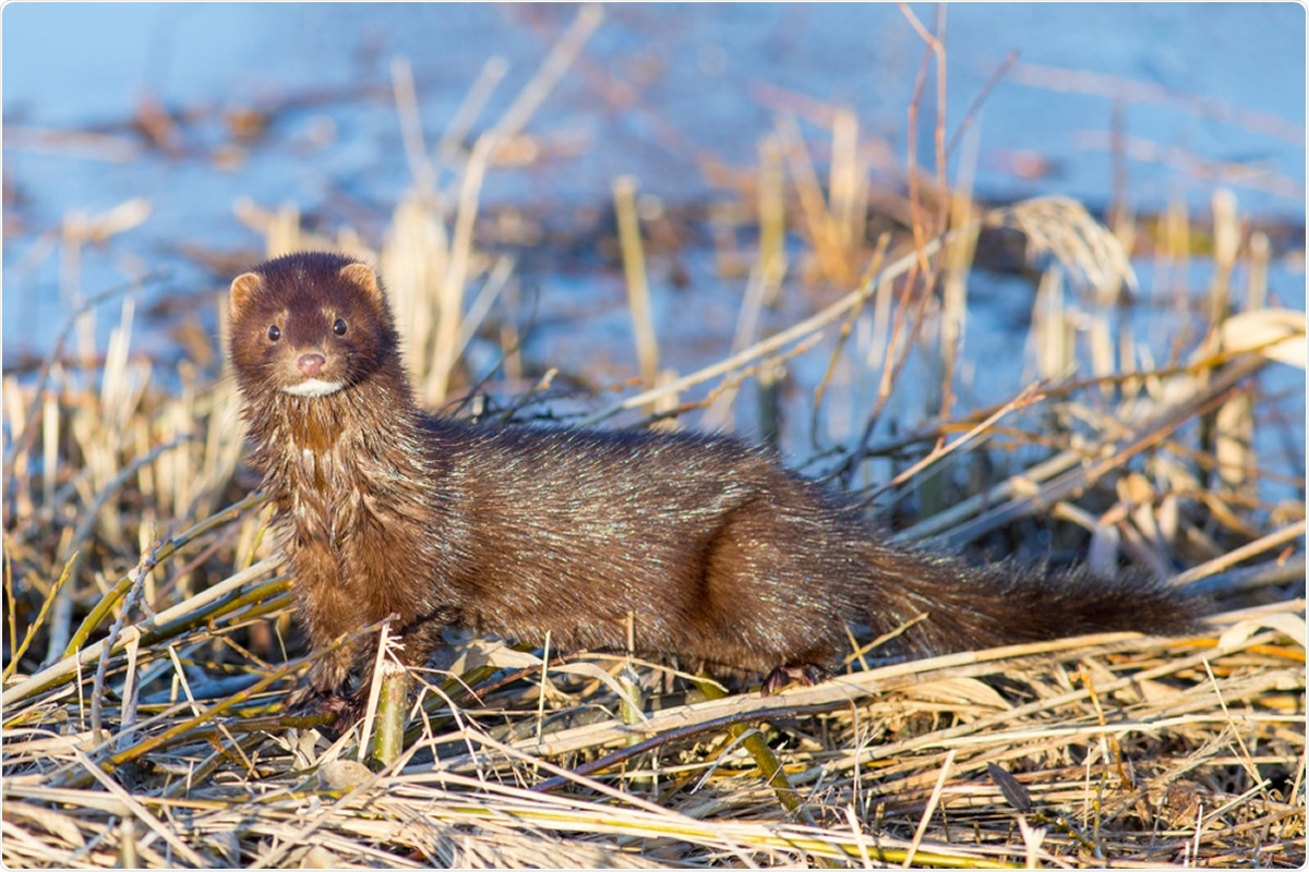 Research Letter - SARS-CoV-2 Exposure in Escaped Mink, Utah, USA. Image Credit: Shauttra / Shutterstock