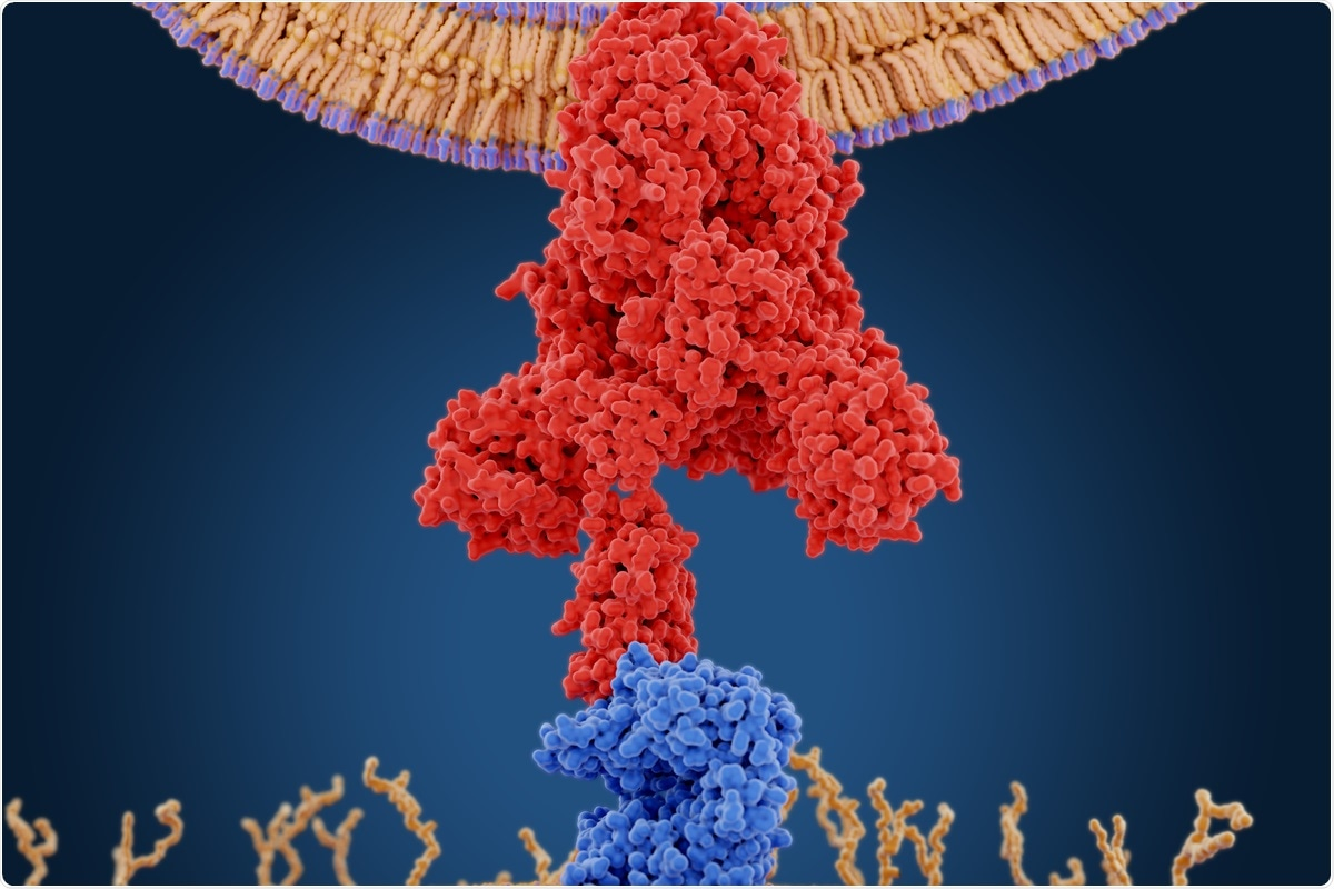 The SARS-CoV-2 virus enters the target host cell by means of its spike glycoprotein. Image Credit: Juan Gaertner / Shutterstock