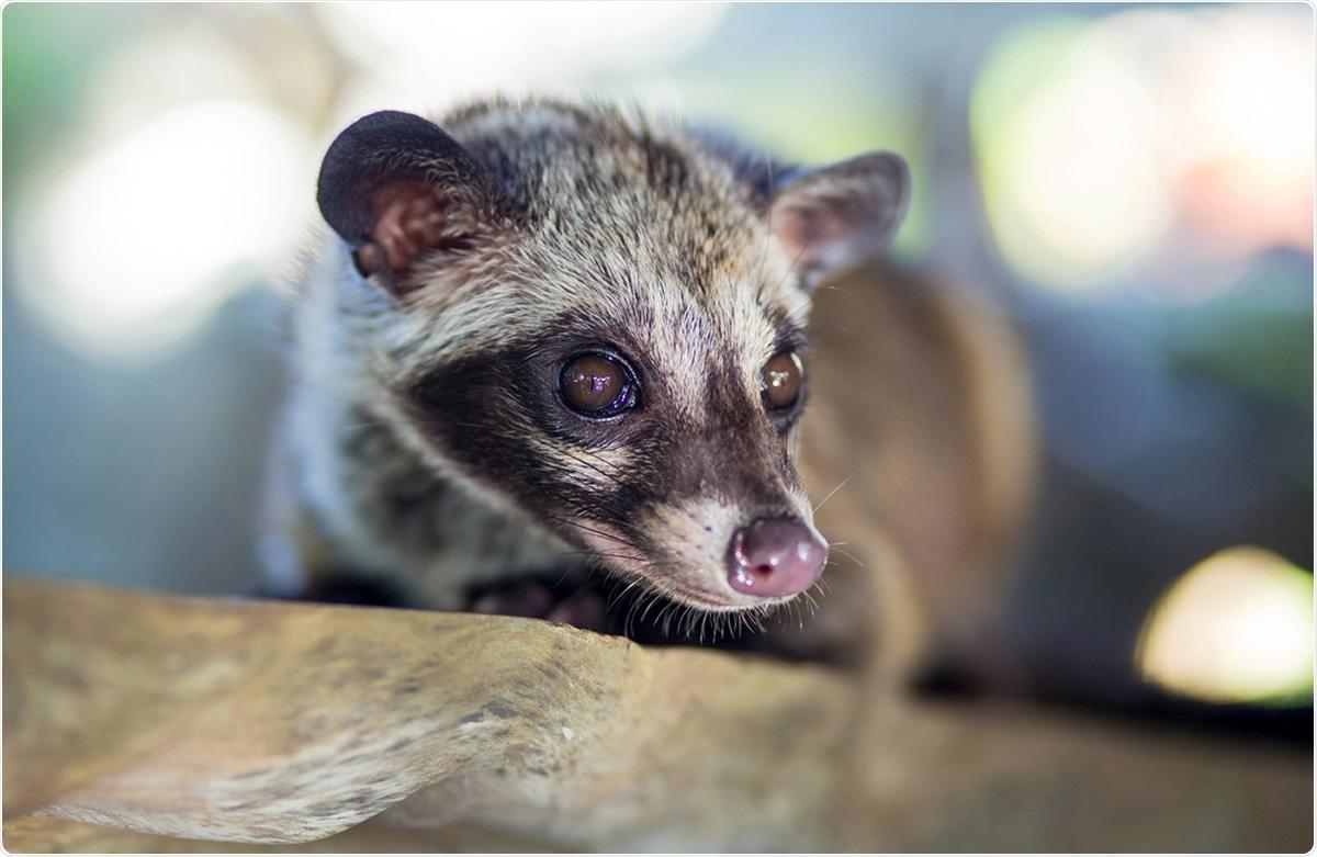 Asian Palm Civet. Image Credit: trubavin / Shutterstock