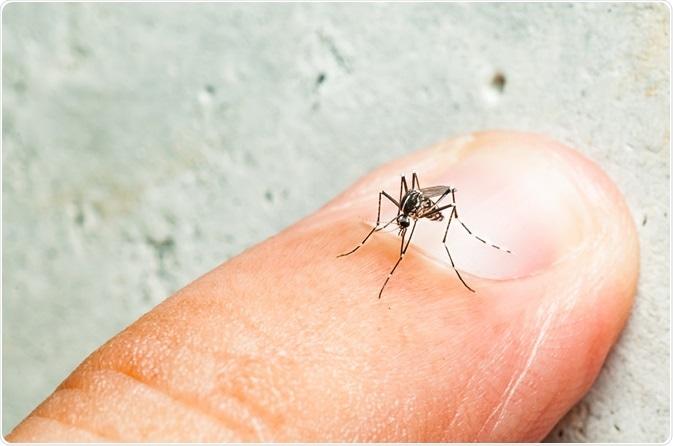 Aedes mosquito. Image Credit: Fendizz / Shutterstock