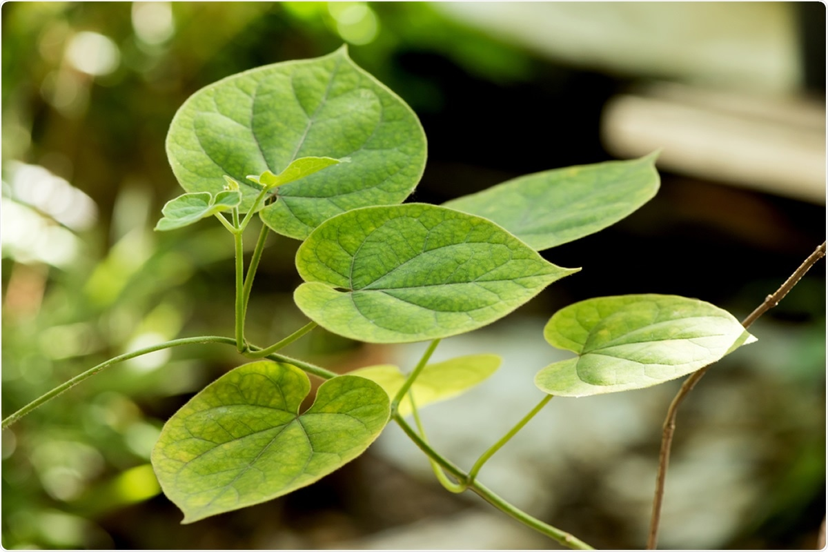 Study: Traditional use of Cissampelos pareira L. for hormone disorder and fever provides molecular links of ESR1 modulation to viral inhibition. Image Credit: Wasanajai / Shutterstock