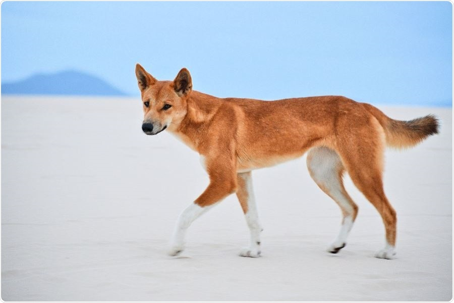 Genetic test shows most wild canines in Australia are pure dingoes or dingo-dominant hybrids