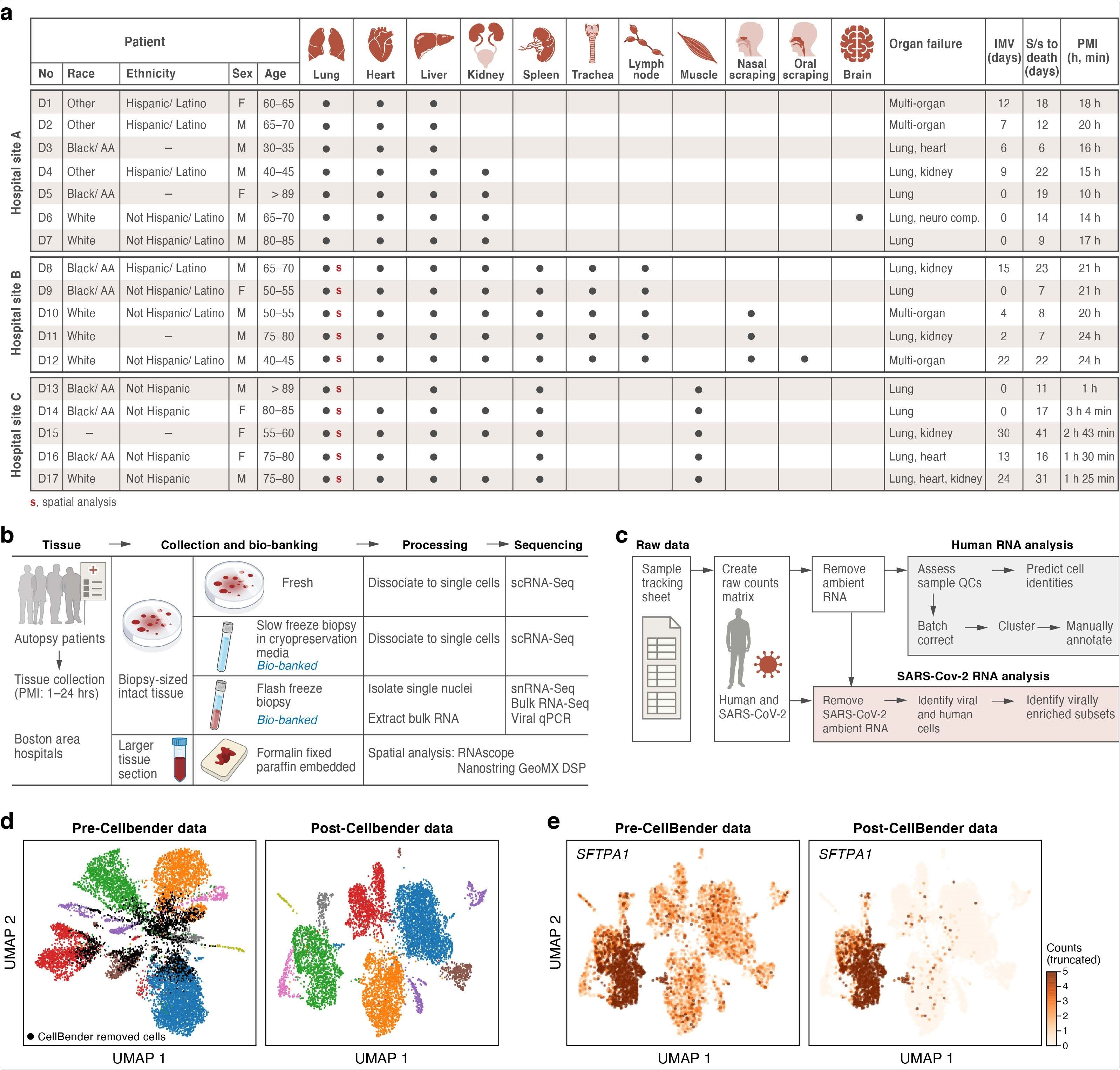 A COVID-19 autopsy cohort for a single cell and spatial atlas a. Cohort overview. IMV: intermittent mandatory ventilation days, S/s: time from symptom onset to death in days; PMI: post-mortem interval. Red bold s: donors for which we collected spatial profiles in the lung. b. Sample processing pipeline overview. c. sc/snRNA-Seq analysis pipeline overview. d,e. CellBender 'remove-background' improves cell clustering and expression specificity by removing ambient RNA and empty (non-cell) droplets. UMAP plot of sc/snRNASeq profiles (dots) either before (left) or after (right) CellBender processing, colored by clusters and by doublet status (black) (d), or by expression of the surfactant protein SFTPA1 (e). Color scale in e is linear and truncated at 5 counts to visualize small counts.