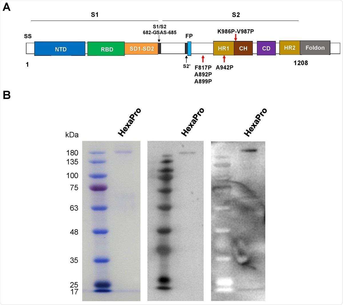 Proteína de pico HexaPro recombinante de SARS-CoV-2.  (A) Representación esquemática del rango externo del HexaPro SARS-CoV-2 preinstalado que muestra las subunidades S1 y S2.  Las flechas rojas que se muestran debajo de la construcción indican cuatro sustituciones de prolina adicionales de la construcción S-2P.  (B) La proteína HexaPro expresada en células HEK293T se purificó y marcó con SDS-PAGE (izquierda), tinción western usando un anti-RBD comercial (centro) y tinción western usando suero convaleciente combinado (derecha).