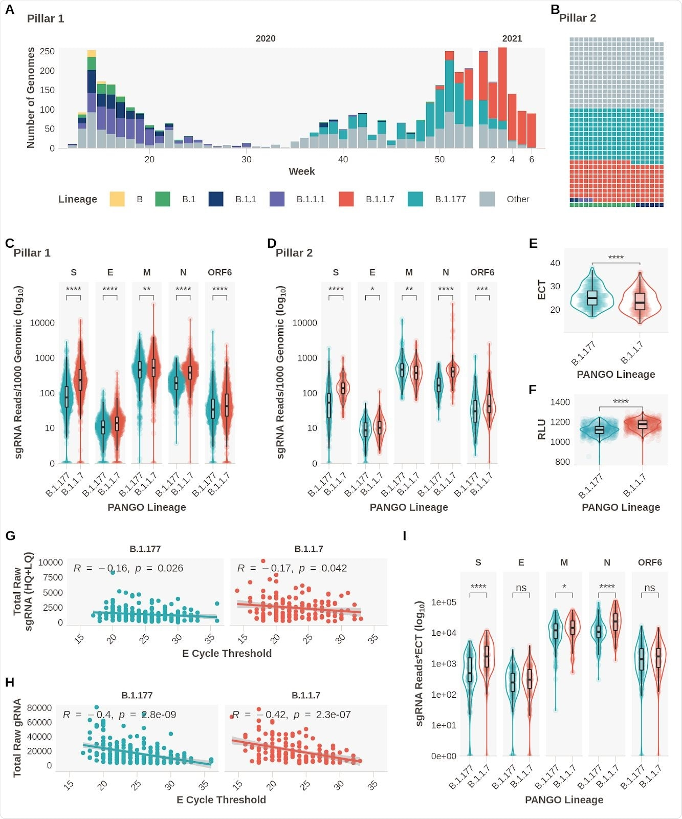 Subgenomic RNA Expression is Increased in B.1.1.7 infections. A. Pillar 1 SARS-CoV-2 lineages over time (B.1.1.7n  = 729, B.1.177n  =764). B. Representation of lineage composition of pillar 2 data (B.1.1.7n  = 150, B.1.177n  = 179). C. sgRNA expression in samples of lineages B.1.177 and B.1.1.7 in pillar 1 samples from the most highly expressed ORFs. D. sgRNA expression in samples of lineages B.1.177 and B.1.1.7 in pillar 2 samples from the most highly expressed ORFs. E. E gene cycle threshold (ECT) for B.1.177 (n=257) and B.1.1.7 (n=185) lineages. F. Relative light units (RLU) for B.1.177 (n=626) and B.1.1.7 (n=626) lineages. G. E gene cycle threshold compared to total raw sgRNA counts (High and Low Quality) for B.1.177 and B.1.1.7. Correlation coefficient and p value using Pearson. H. E gene cycle threshold compared to total raw genomic RNA counts for B.1.177 and B.1.1.7. Correlation coefficient and p value using Pearson. I. Raw sgRNA counts normalised to E gene cycle threshold (sgRNA*ECT). All p-values (except G & H) calculated using an unpaired Wilcoxon signed rank test, and adjusted for multiple testing with the Holm method (**** < 0.0001, *** < 0.001, ** < 0.01, * < 0.05)