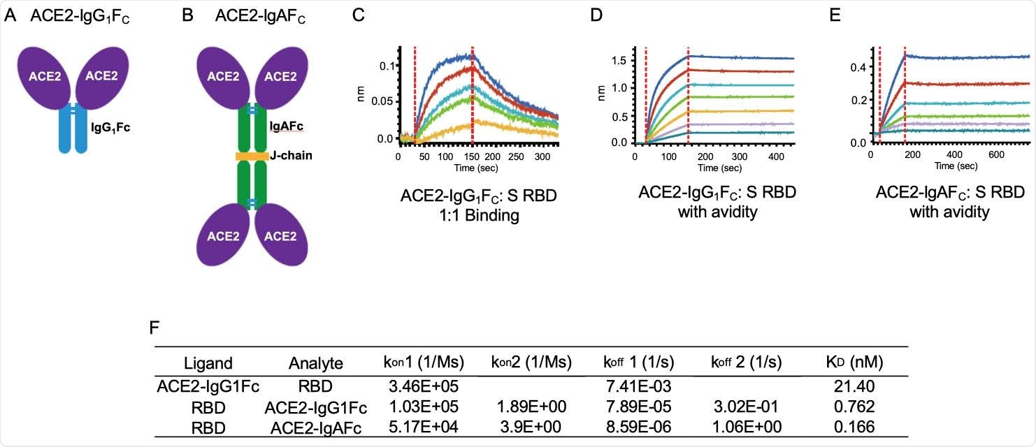 ACE2-IgG1FC and dimeric -IgAFC decoys bind the spike receptor binding domain (S RBD) with high affinity. The (A) ACE2-IgG1FC decoy; (B) dimeric ACE2-IgAFC decoy fused via a chain are shown. Biolayer Interferometry (BLI) kinetics analysis of (C) 1:1 binding and (D) binding with avidity for the ACE2-IgG1FC decoy; and (E) BLI binding with avidity for the ACE2-IgAFC decoy are shown. (F) Table of binding affinity values.