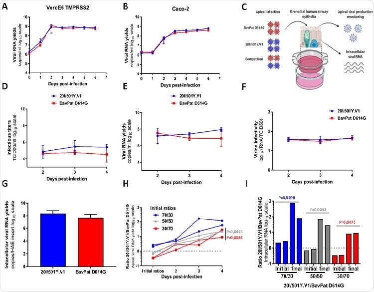 In vitro and ex vivo replication ability of a 20I/501Y.V1 variant in comparison with a lineage B.1 D614G strain. (A-B) Replication kinetics in VeroE6 TMPRSS2 (A) and Caco-2 (B) cells. Viral replication was assessed using a RT-qPCR assay. (C) Graphical representation of experiments with reconstituted human airway epithelium (HAE) of bronchial origin. (D-E) Kinetics of virus excretion at the apical side of the epithelium measured using a TCID50 149 assay (D) and a RT-qPCR assay (E). (F) Estimation of virion infectivities (i.e., the ratio of the number of infectious particles over the number of viral RNA). (G) Intracellular viral RNA yields measured at 4 dpi using a RT-qPCR assay. (A-G) Data represent mean±SD of a triplicate. No statistical difference was observed between both viral strains (p>0.05; unpaired Mann-Whitney test). (H) Follow-up of the 20I/501Y.V1/BavPat D614G ratios at the apical side. Each line represents results from an HAE insert. (I) Individual 20I/501Y.V1/BavPat D614G ratios estimated from intracellular viral RNAs at 4dpi (I). (H-I) p-values were determined against the initial ratios using Kruskal-Wallis test followed by uncorrected Dunn's post-hoc analysis. The graphical representation was created with BioRENDER.