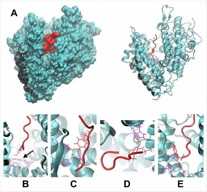 (A) La estructura de Ang II (rojo) unida a ACE2 (verde azulado).  La hendidura en ACE2 donde reside Ang II es visible tanto en la imagen renderizada en la superficie (izquierda) como en el diagrama de cinta (derecha).  Los residuos de ACE2 que interactúan con la proteína de pico se muestran en negro.  (BE) Vistas ampliadas de la unión de Ang II-ACE2, que muestran la coordinación de Ang II con zinc (naranja) en cuatro posibles residuos de D, Y, H y el extremo C, que se muestran en B, C, D y E , respectivamente.  Los residuos de coordinación correspondientes en ACE2 se muestran en violeta.