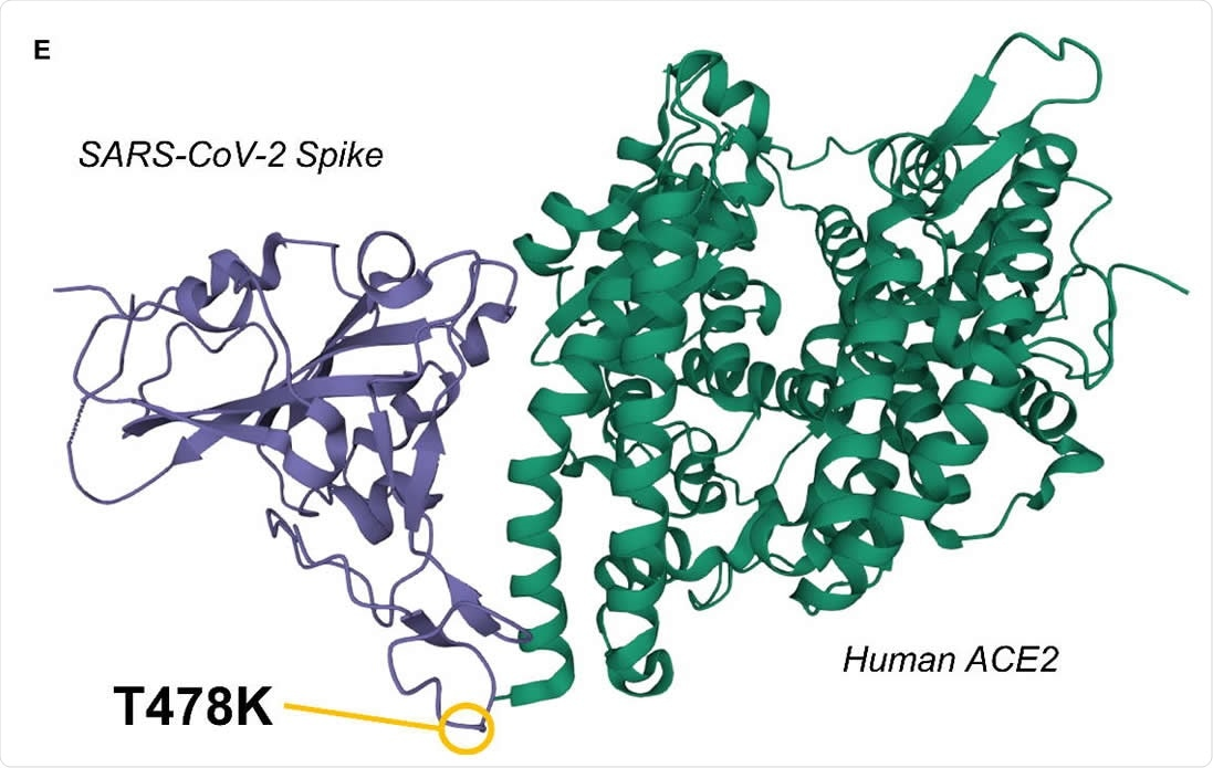 3D representation of the SARS-CoV-2 Spike / Human ACE2 interacting complex