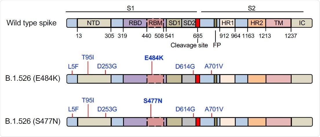La estructura del dominio de la proteína de pico de SARS-CoV-2 se muestra arriba.  NTD, dominio Nterminal;  RBD, dominio de unión al receptor;  RBM, motivo de unión al receptor;  Subdominio SD1 1;  SD2, subdominio 2;  FP, péptido de fusión;  HR1, repetición 1 de heptada;  HR2, repetición 2 de heptada;  TM, región transmembrana;  IC, dominio intracelular.  La ubicación de las mutaciones en las dos proteínas de pico B.1.526 se muestra en un diagrama a continuación con las mutaciones distintivas de E484K y S477N en negrita.