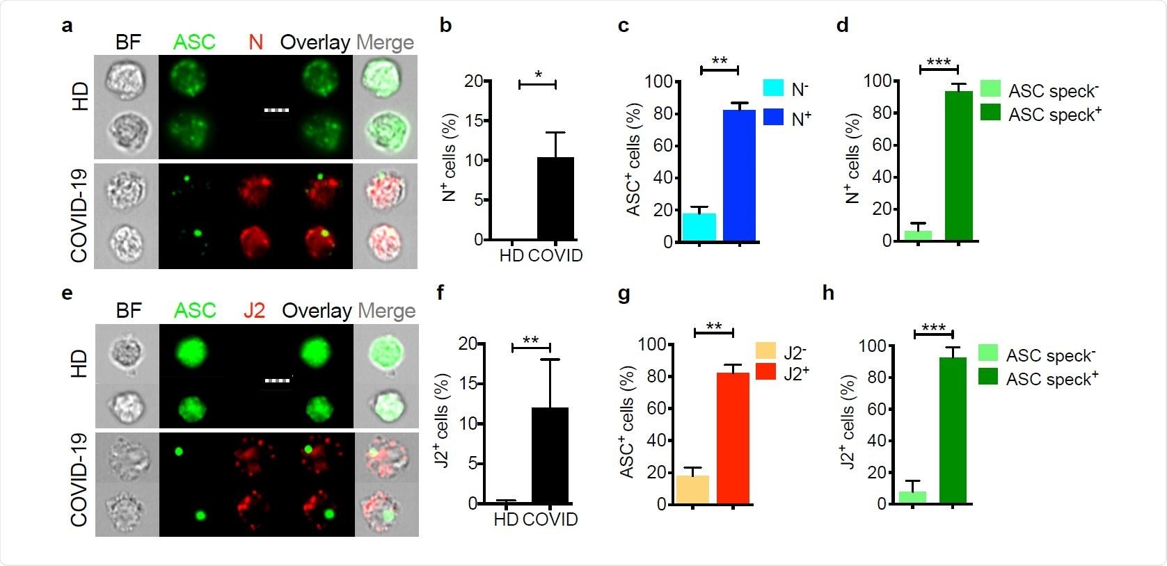 Circulating monocytes are infected with SARS-CoV-2 Circulating monocytes from HD and COVID-19 patients were purified and stained for SARS-CoV-2 nucleocapsid (N) (n=5) (a-d) or dsRNA (J2 antibody) (n=4) (e-h) and ASC. Shown are representative imaging flow cytometry images (a,e), quantification of percentage of cells that were infected by N (b) or J2 (f) staining, percentage of uninfected or infected cells (by J2 or N staining) that showed ASC specks (c, g) or percentage of cells with or without ASC specks that showed N (d) or J2 (h) staining. Scale bar, 7 µm. BF, brightfield. Mean ± S.E.M. is shown. *p<0.05, **p<0.01, ***p<0.001 by nonparametric unpaired t test (Mann-Whitney or Kolmogorov-Smirnov).