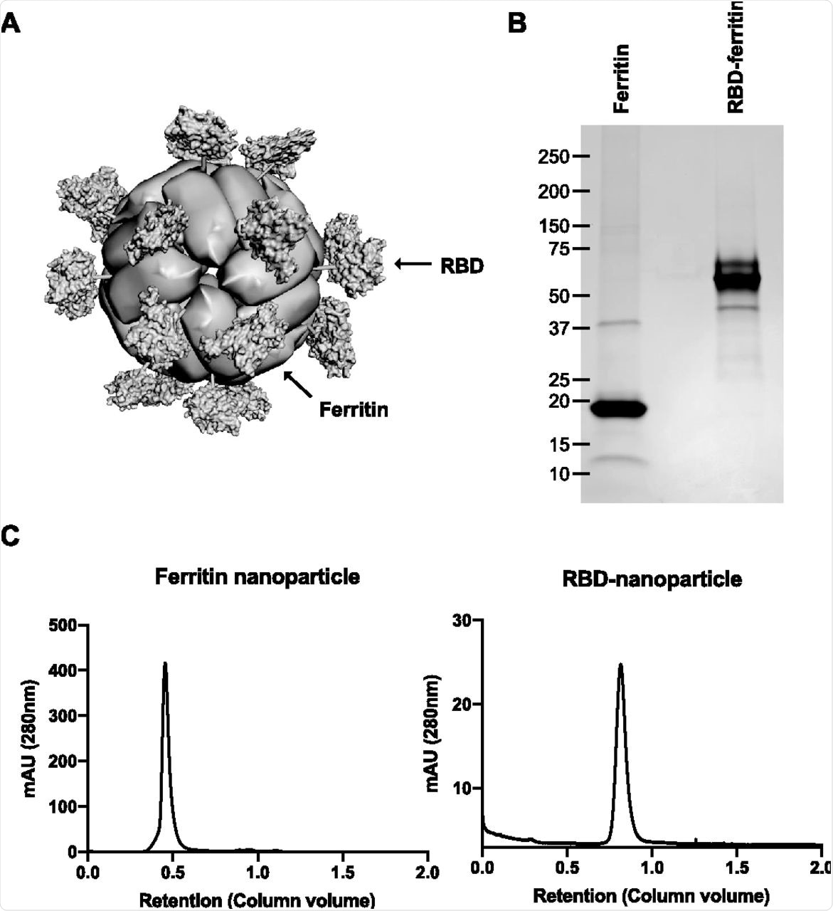Design and purification of RBD-nanoparticles. (A) Computer-assisted modeling of an RBD-nanoparticle based on previously solved structures of H. pylori ferritin (PDB accession no. 3EGM) and SARS-CoV-2 RBD (PDB accession no. 7JMP). The RBD forms radial projections on a 3-fold axis point of the fully assembled nanoparticle. (B) Coomassie blue staining of purified ferritin-nanoparticles and RBD-nanoparticles following SDS-PAGE. (C) Size exclusion chromatography peaks of the concentrated supernatants from HEK293T cells transfected with plasmids encoding secreted ferritin-nanoparticles or RBD-nanoparticles. The supernatants were concentrated with 100-kDa-MWCO and 500-kDa-MWCO filters on a TFF system and loaded onto Superdex 200 Increase 10/300 GL and HiPrep 16/60 Sephacryl S-500 HR gel filtration columns on a Bio-Rad NGC chromatography system, respectively. mAU, arbitrary units (in thousands).