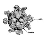 Self-assembling nanoparticles an effective vaccine candidate for SARS-CoV-2
