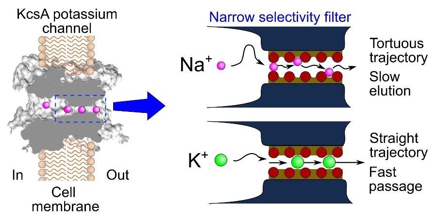 El estudio proporciona información innovadora sobre el paso de iones de sodio a través de los canales de potasio.