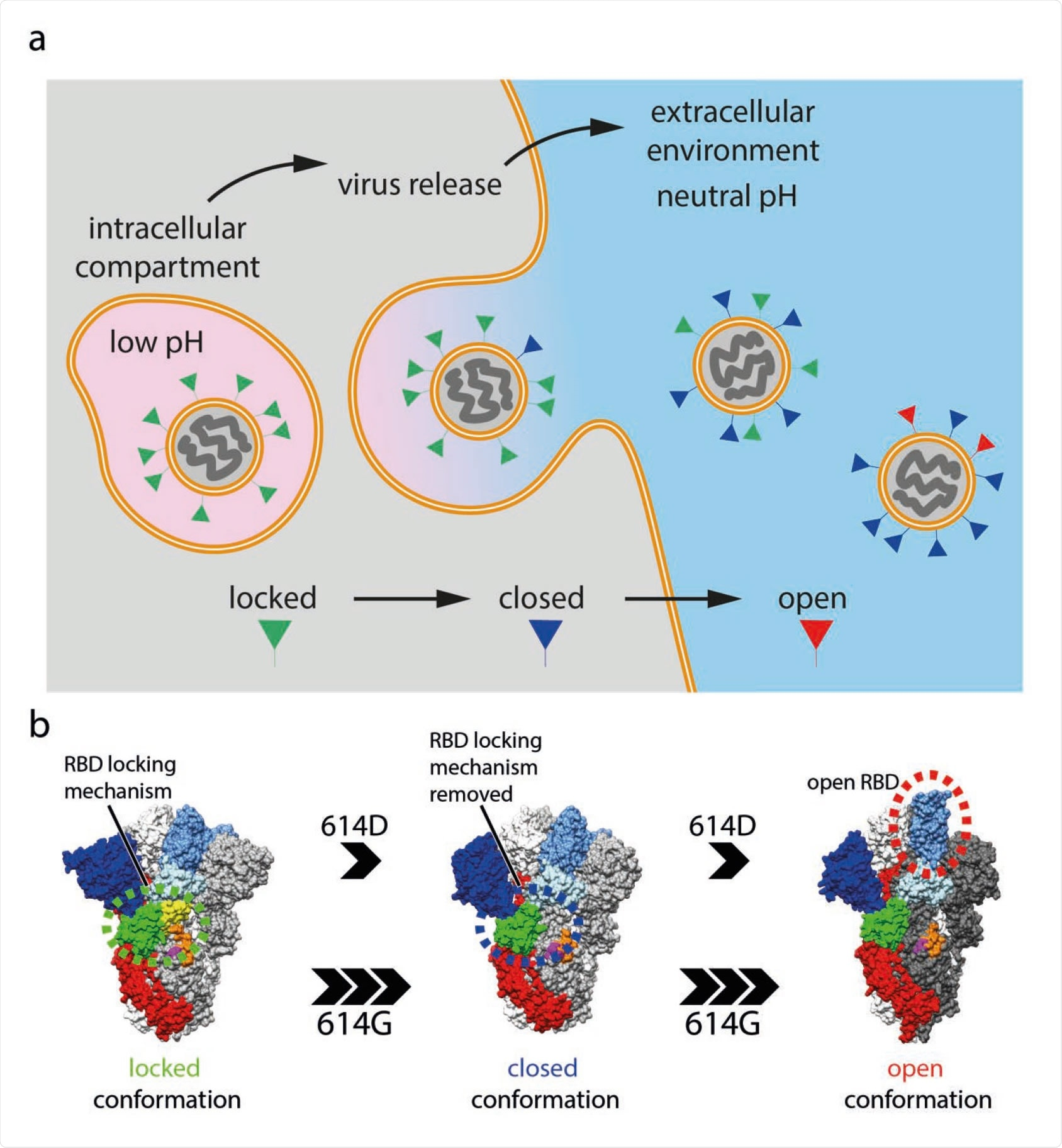 SARS-CoV-2 virus particle release and the accompanied structural transitions of surface spike protein. a, schematic diagram illustrating the release of nascent SARS-CoV-2 virus particles from the cell. Labelled boxes indicate the predicted conformational states of spike proteins as the virus travel through the acidic intracellular compartment before it was released into the neutral extracellular environment. b, the three prefusion conformational states observed for the SARS-CoV-2 spike protein and factors that influence the structural transitions between the conformational states.