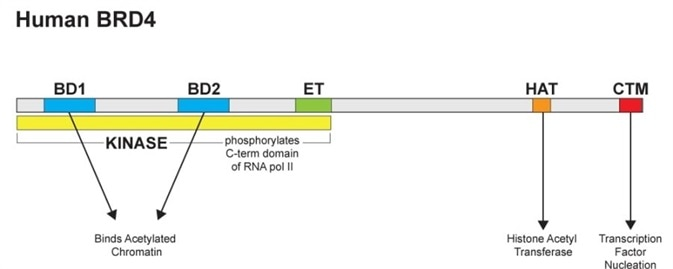 Diagram of full length human BRD4 showing its four primary functions: (1) binding to acetylated chromatin via two N terminal bromodomains (BD1, BD2), (2) histone acetyl transferase (HAT) activity for acetylating lysine residues in histones, (3) serine kinase activity which acts on RNA pol II, and (4) a C-terminal motif (CTM) which serves as a nucleation site for transcription factors. The extraterminal (ET) domain is characteristic of BET family members and serves as an additional protein-protein interaction domain.