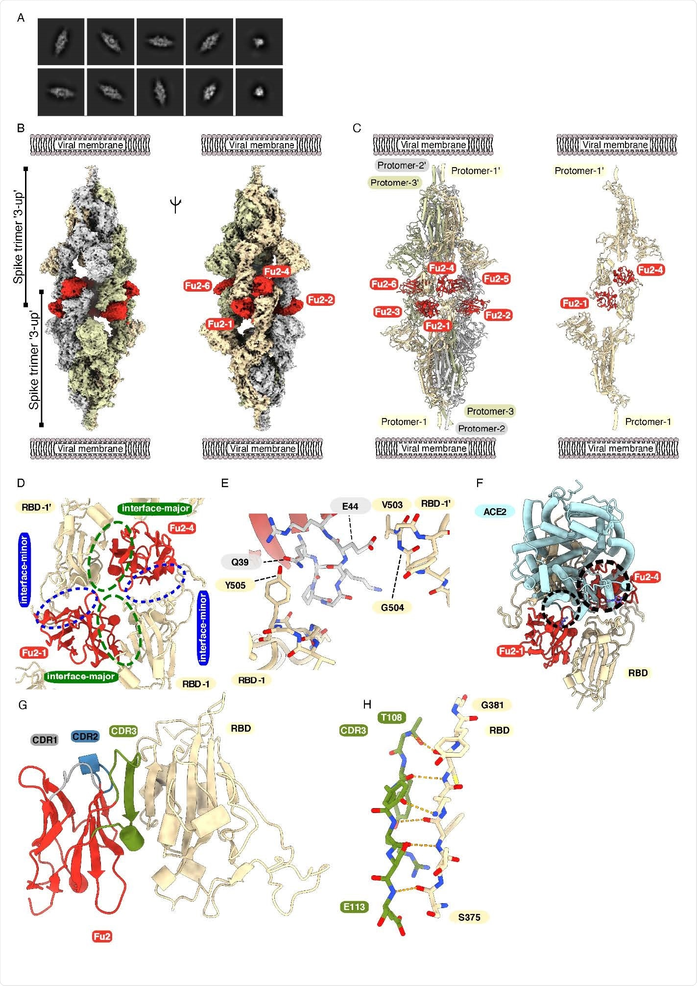 Cryo-EM provides structural evidence of Fu2-mediated dimerization of trimeric spike in '3-up' conformation (A) Representative 2D class averages. (B) Cryo-EM map (two different side views) and (C) Atomic model of 'dimeric' spike in complex with Fu2; and two opposite protomers with two Fu2 molecules. Both spike trimers in the complex are present in '3- up' conformation (six Fu2 molecules are numbered). (D) Close-up view of the RBD-Fu2 interaction interfaces showing the interface-major and interface-minor. (E) A b-hairpin (gray sticks) from the Fu2 framework region (residues 39-45) contacts two RBDs simultaneously in the Fu2-mediated spike trimer-dimer. (F) Modelling of simultaneous spike-Fu2-ACE2 binding shows that Fu2 blocks the binding of ACE2 to the RBD from two directions. Clashes marked with dashed circles. (G) Fu2 binds the RBD through an extended inter-chain b-sheet interaction mediated by the CDR3 region (green). CDR1 (gray) and CDR2 (blue) does not take part in RBD binding (H) Closeup of a part of the CDR3-RBD interface displaying the anti-parallel b-strand hydrogen bond pairing between the Fu2 CDR3 region and the RBD (light orange).