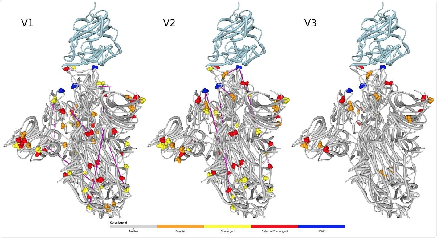 Locations of amino acids encoded by codons that are evolving under positive selection and/or encode convergent amino acid changes between the lineages mapped to the 3D structure of Spike (PDB 7DF4 structure; 47). The human ACE2 receptor is shown in light blue. Signature mutations are not represented unless they are inferred to be under positive selection. Pairs of sites that are detectably coevolving within the different lineages are linked by purple lines.