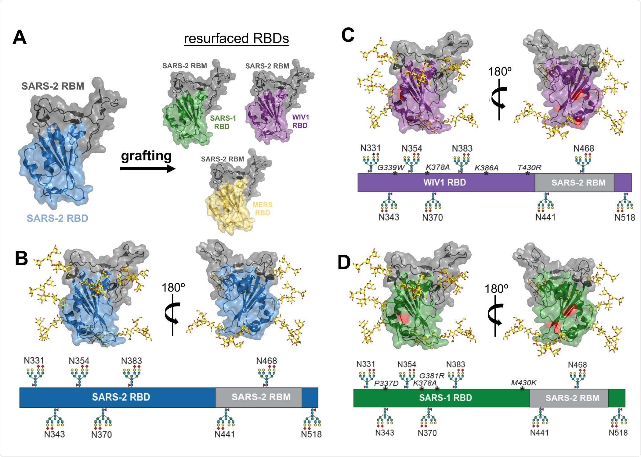 Approcci di hyperglycosylation e rifare la superficie per immune-messa a fuoco. (A) Disegno schematico di progettazione per rifare la superficie di SARS-1 (rsSARS-1) e di WIV1 (rsWIV1) con il motivo obbligatorio del ricevitore SARS-2. Disegno schematico di progettazione per hyperglycosylating SARS-2 (B), rsSARS-1 (C) e rsWIV1 (D) domini obbligatori del ricevitore. i glycans costruiti Non indigeni e i glycans indigeni sono modellati; SARS-2 indigeno RBM glycan alla posizione 331 è omesso nel disegno schematico. Le mutazioni nel WIV1 e nel SARS-1 RBDs sono indicate nel rosso e sono stampate in corsivo nel diagramma lineare. Tutte le immagini sono state create facendo uso del PDB 6M0J.